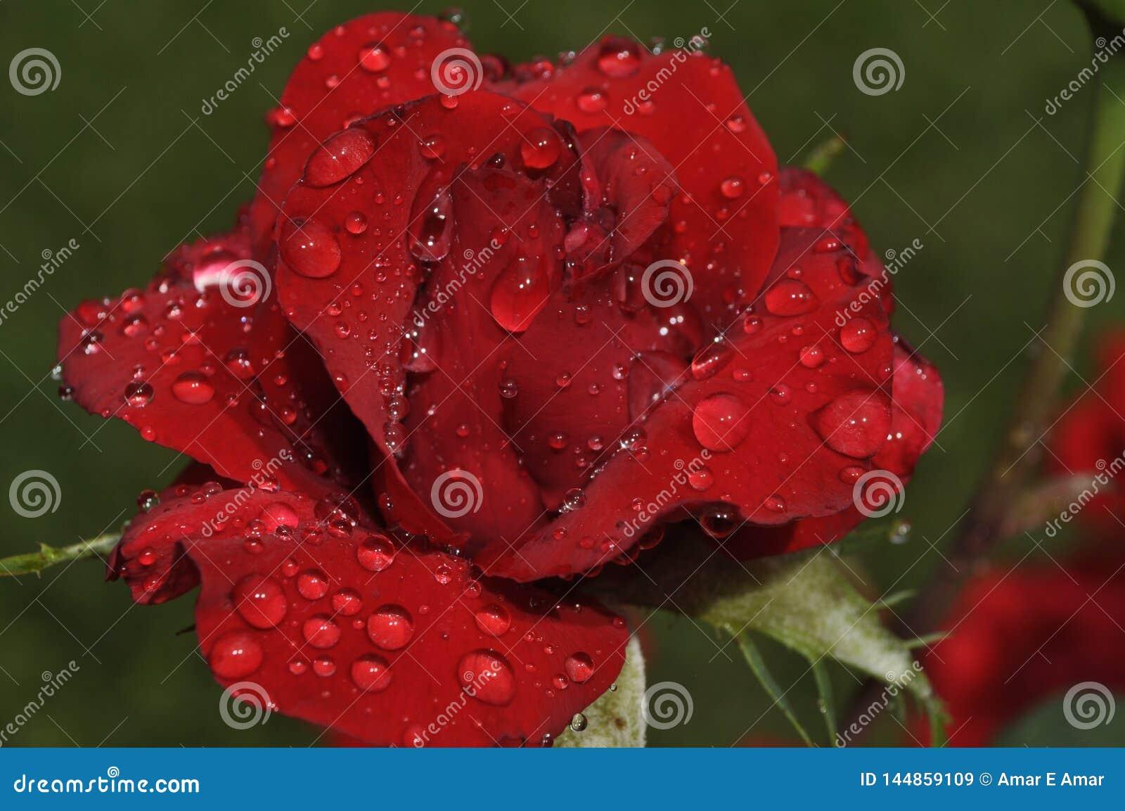 Interesująca czerwieni róża w świeżych rosa kroplach