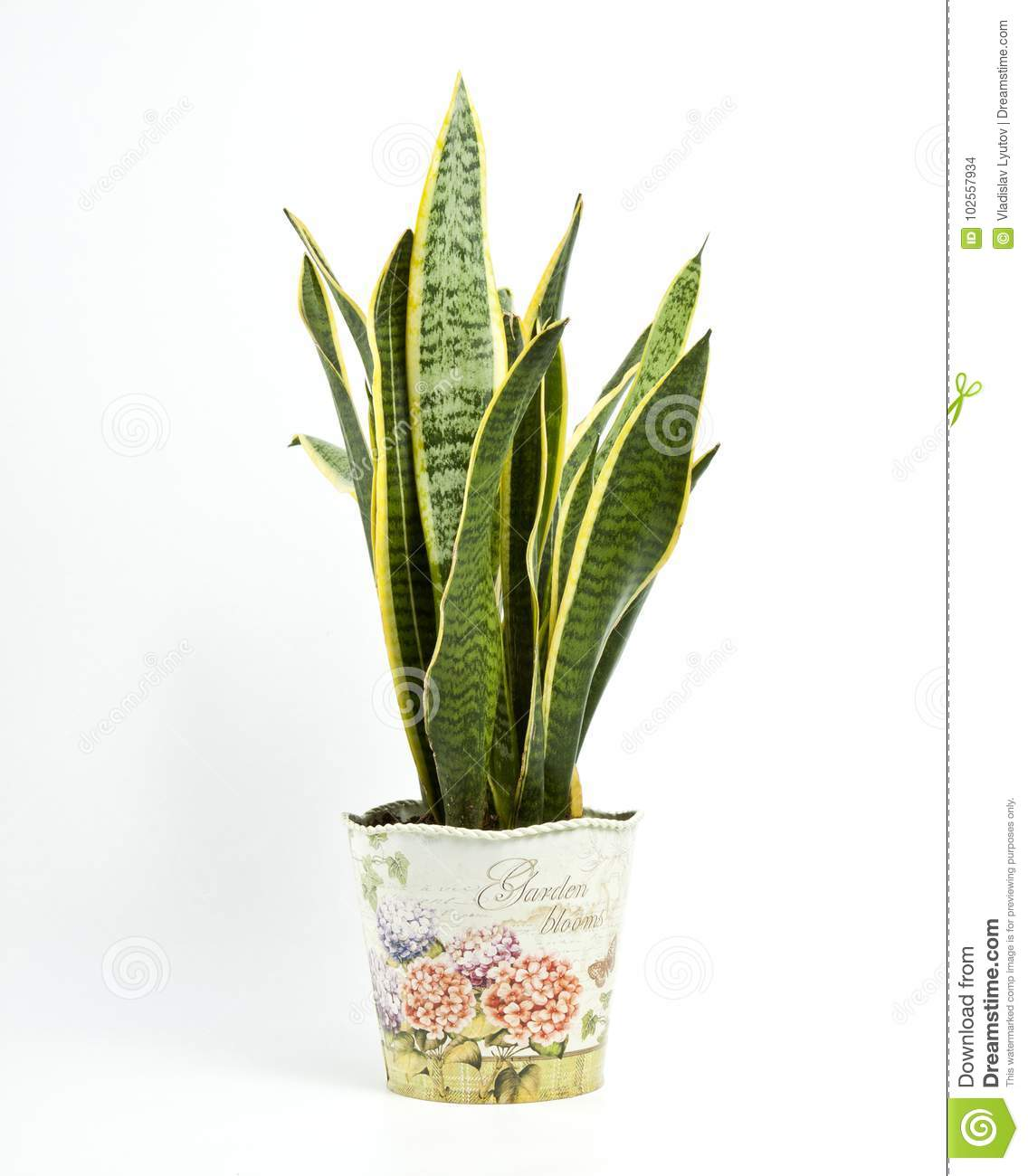 Sansevieria trifasciata or Snake plant in pot on a white background  sc 1 st  Dreamstime.com & Sansevieria Trifasciata Or Snake Plant In Pot On A White Background ...