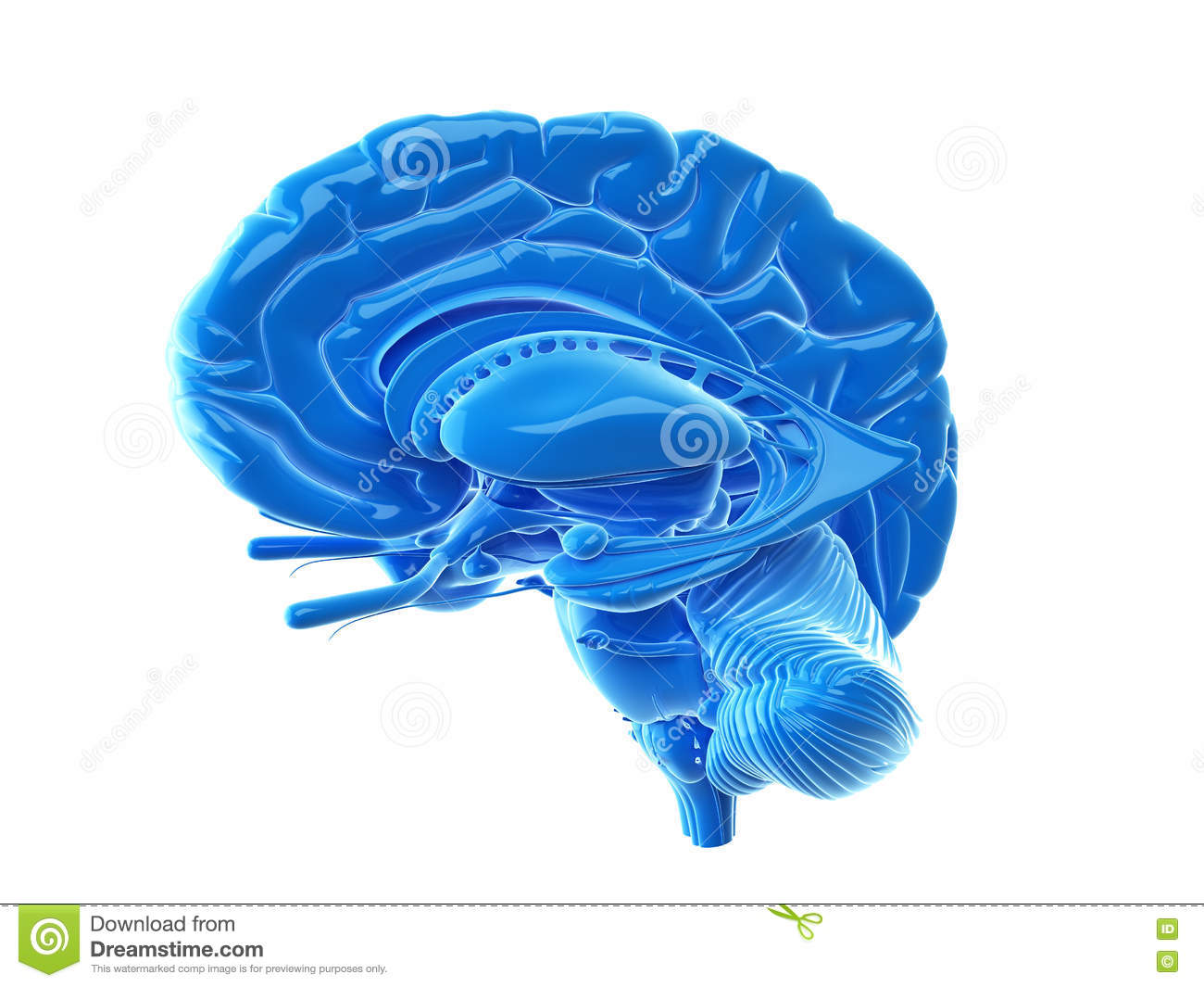 The Internal Brain Anatomy Stock Illustration Illustration Of