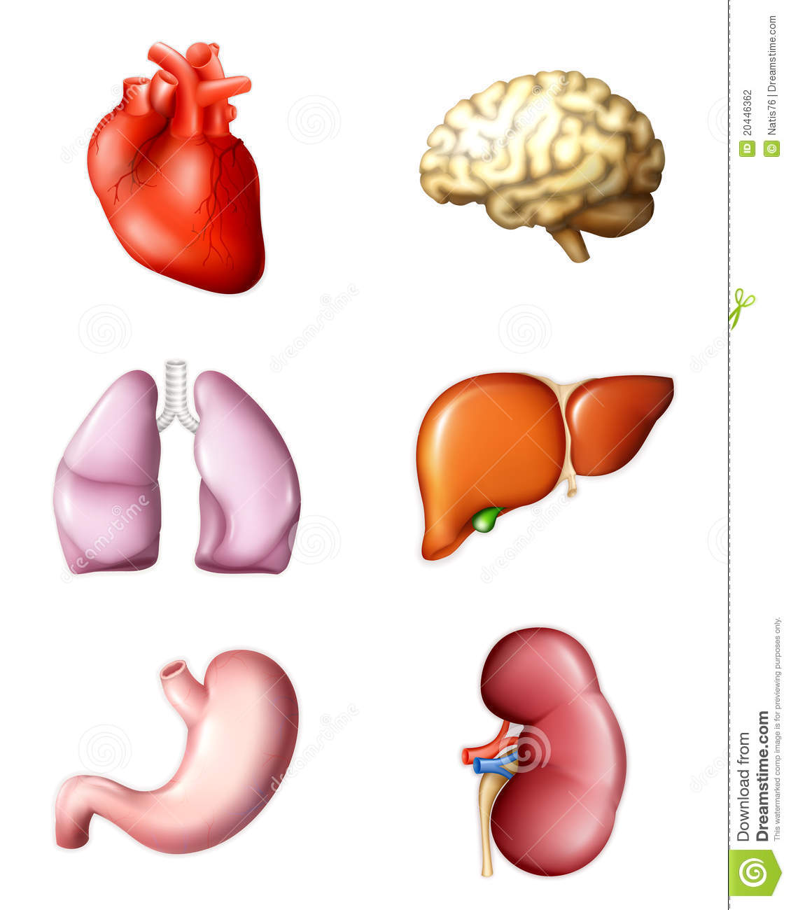 Internal Human Organs Stock Vector Illustration Of Bile 20446362