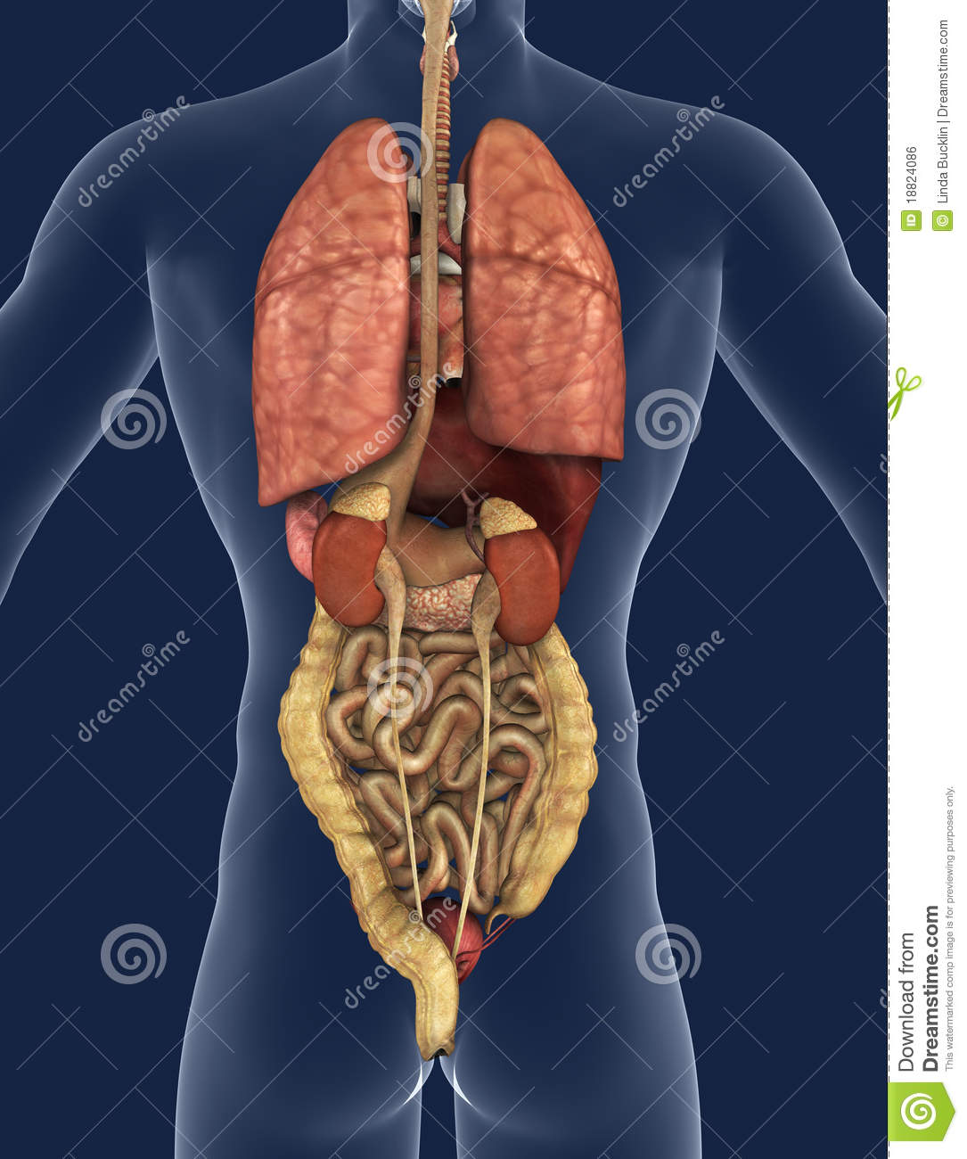 Internal Organs Back View Stock Illustration Illustration Of