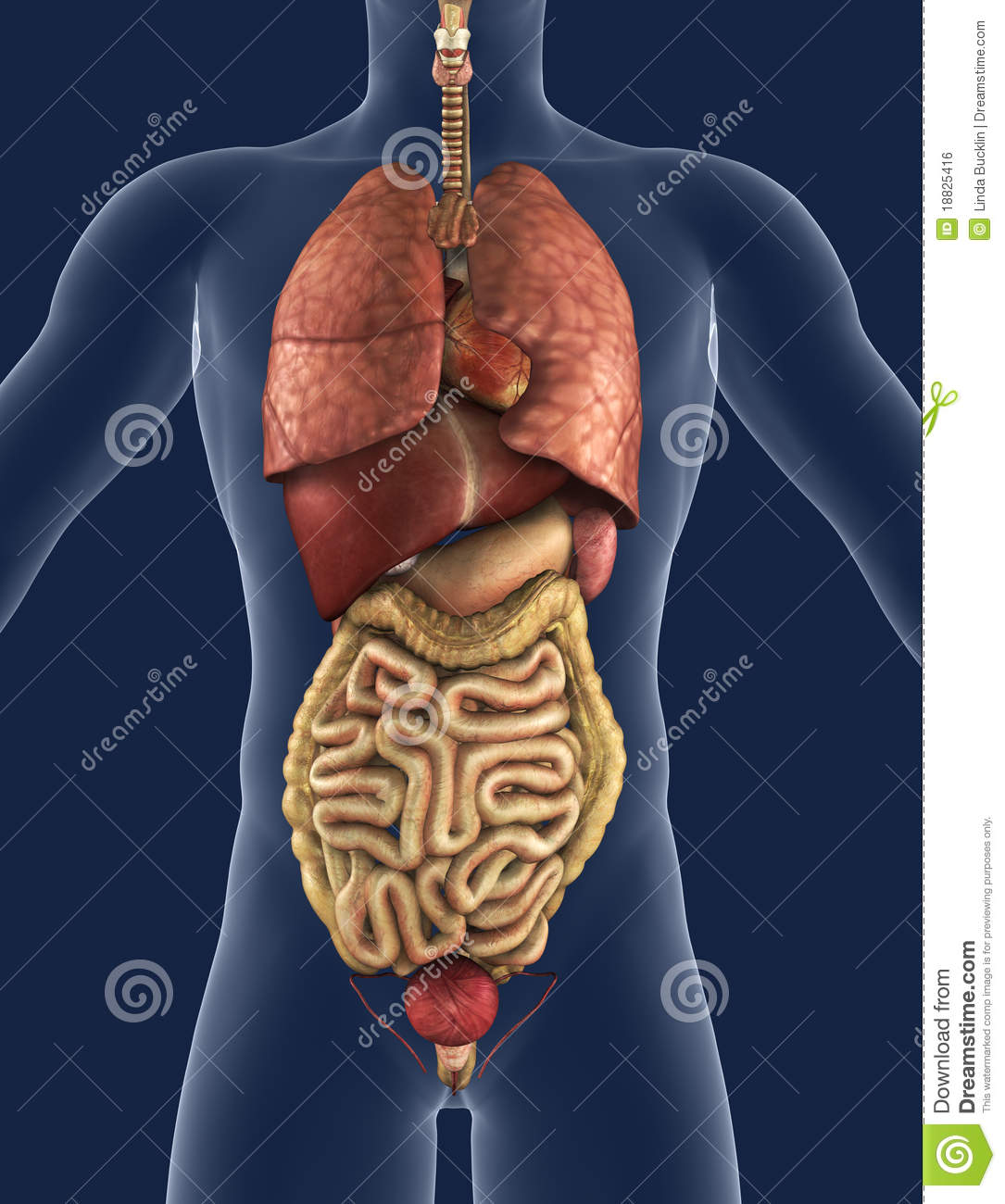 Internal Organs Front View Stock Illustration Illustration Of