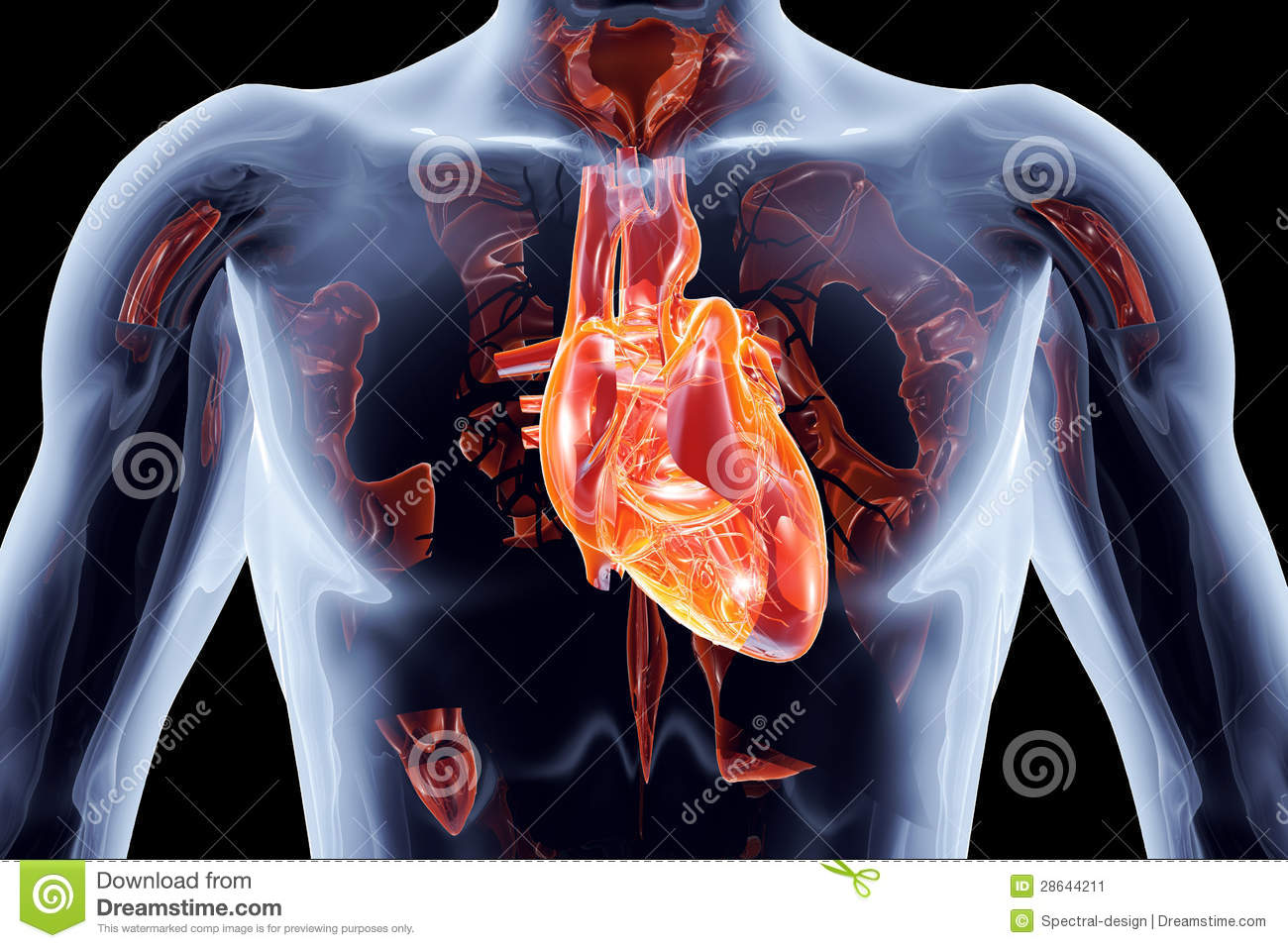 Internal organs heart stock illustration illustration of body internal organs heart ccuart Gallery