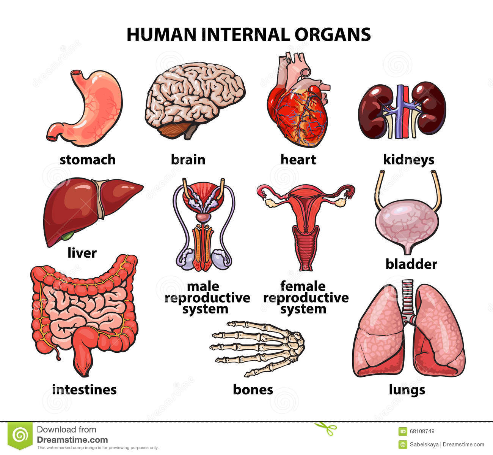 The Internal Organs Of Man, Set Stock Vector - Illustration of ...