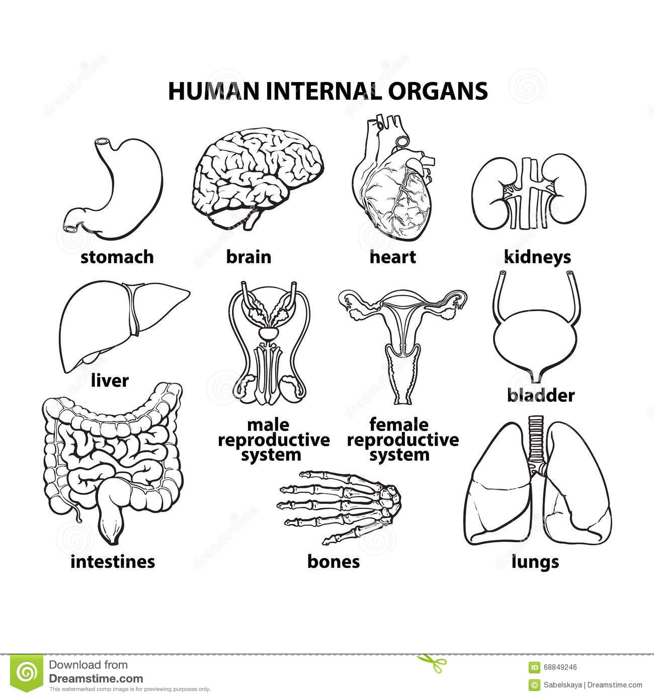 The Internal Organs Of Man, Set Stock Vector - Illustration of brush ...
