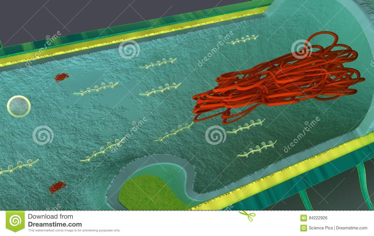 internal parts bacteria constitute large domain prokaryotic microorganisms typically few micrometres length have 84222926 internal parts of bacteria stock illustration illustration of macro