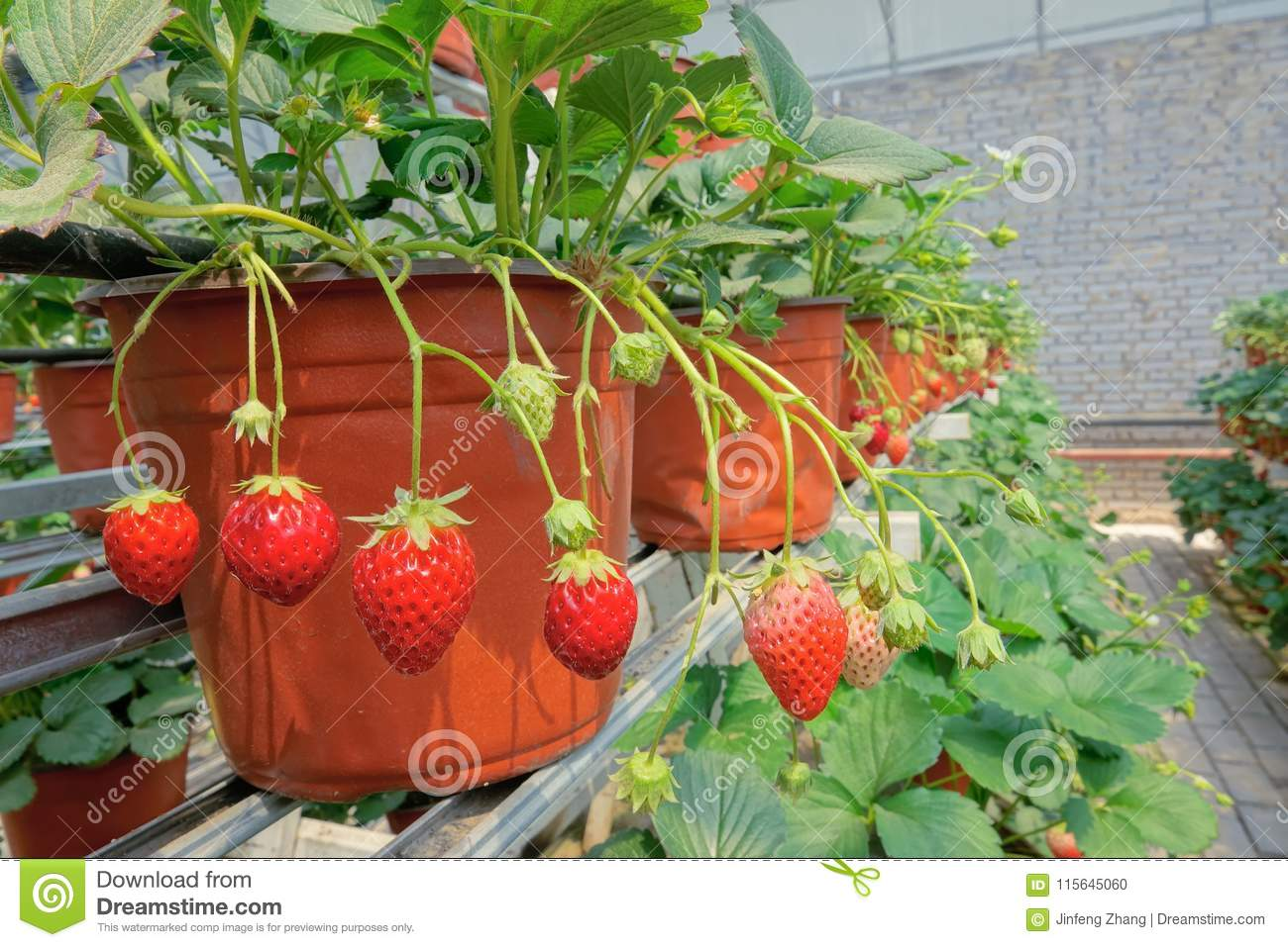 Strawberries hothouse