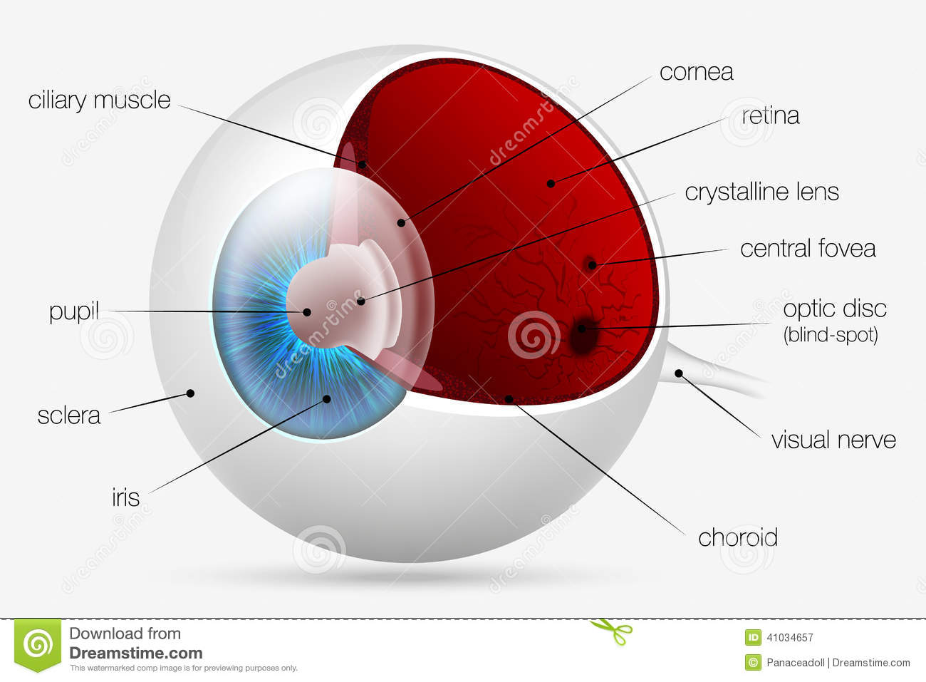 Internal Structure Of The Human Eye Stock Vector - Illustration of ...