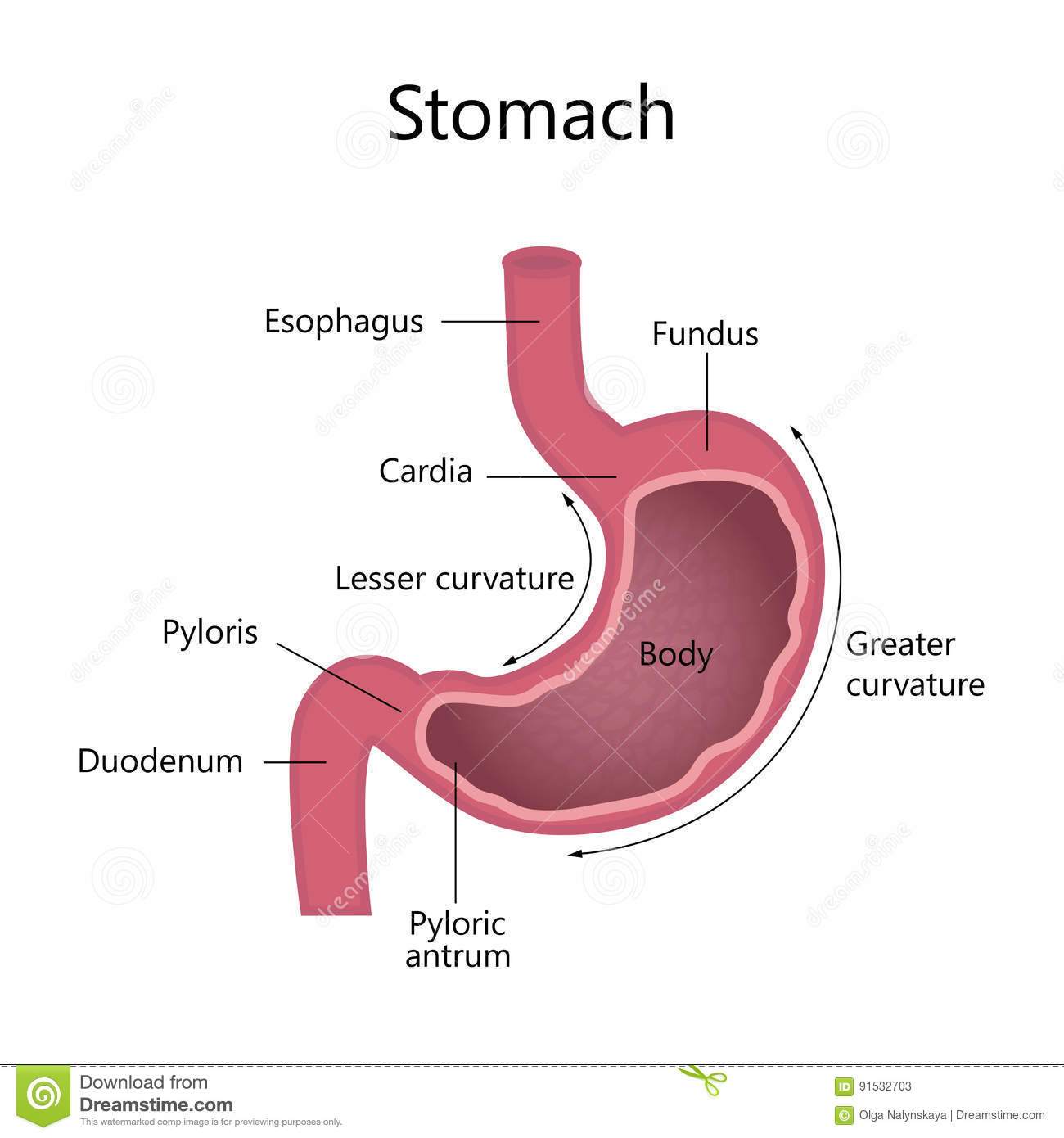 Anatomy of the human stomach
