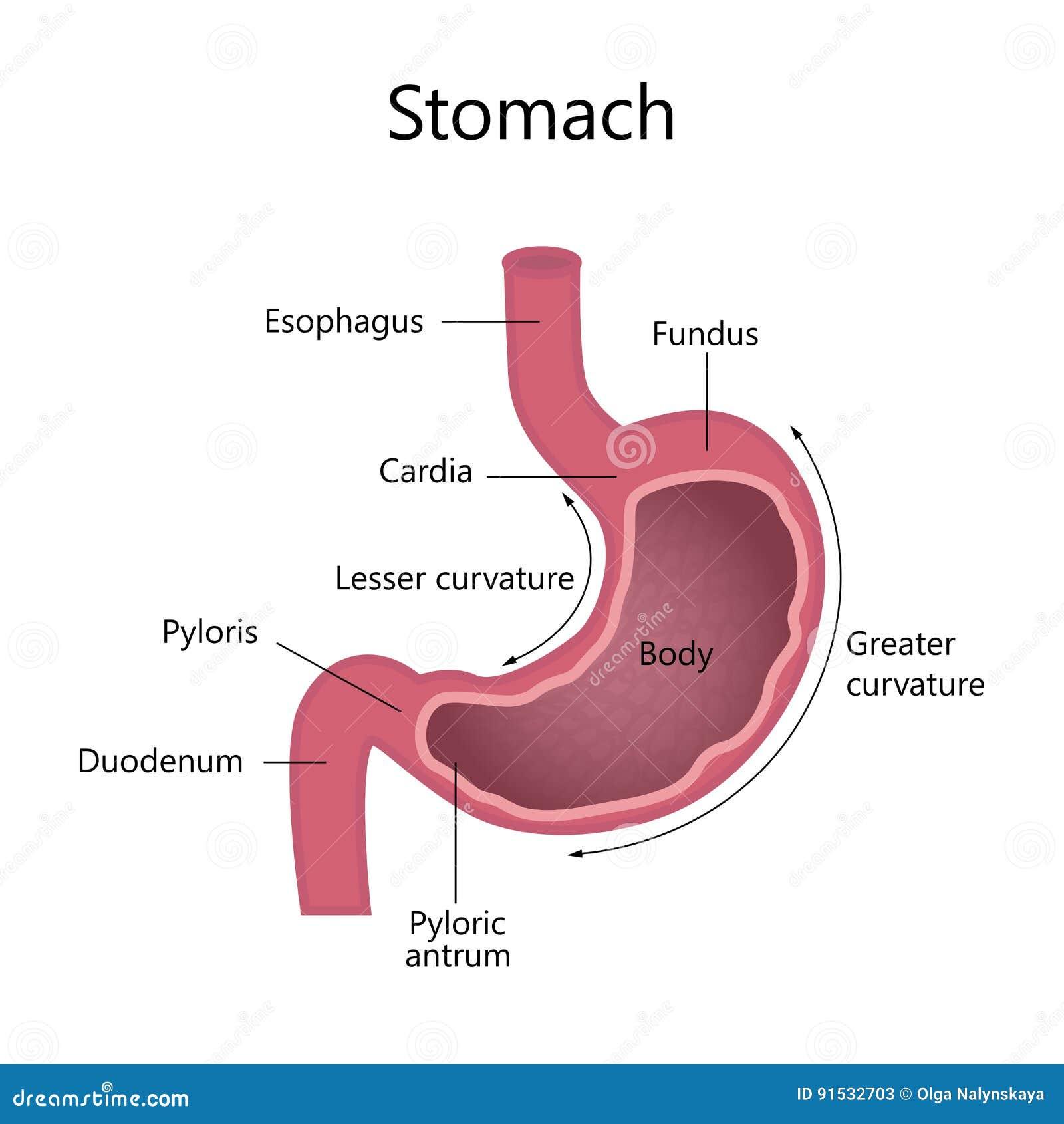 Fantastisch Anatomie Des Gastrointestinaltrakts Fotos - Anatomie Von ...