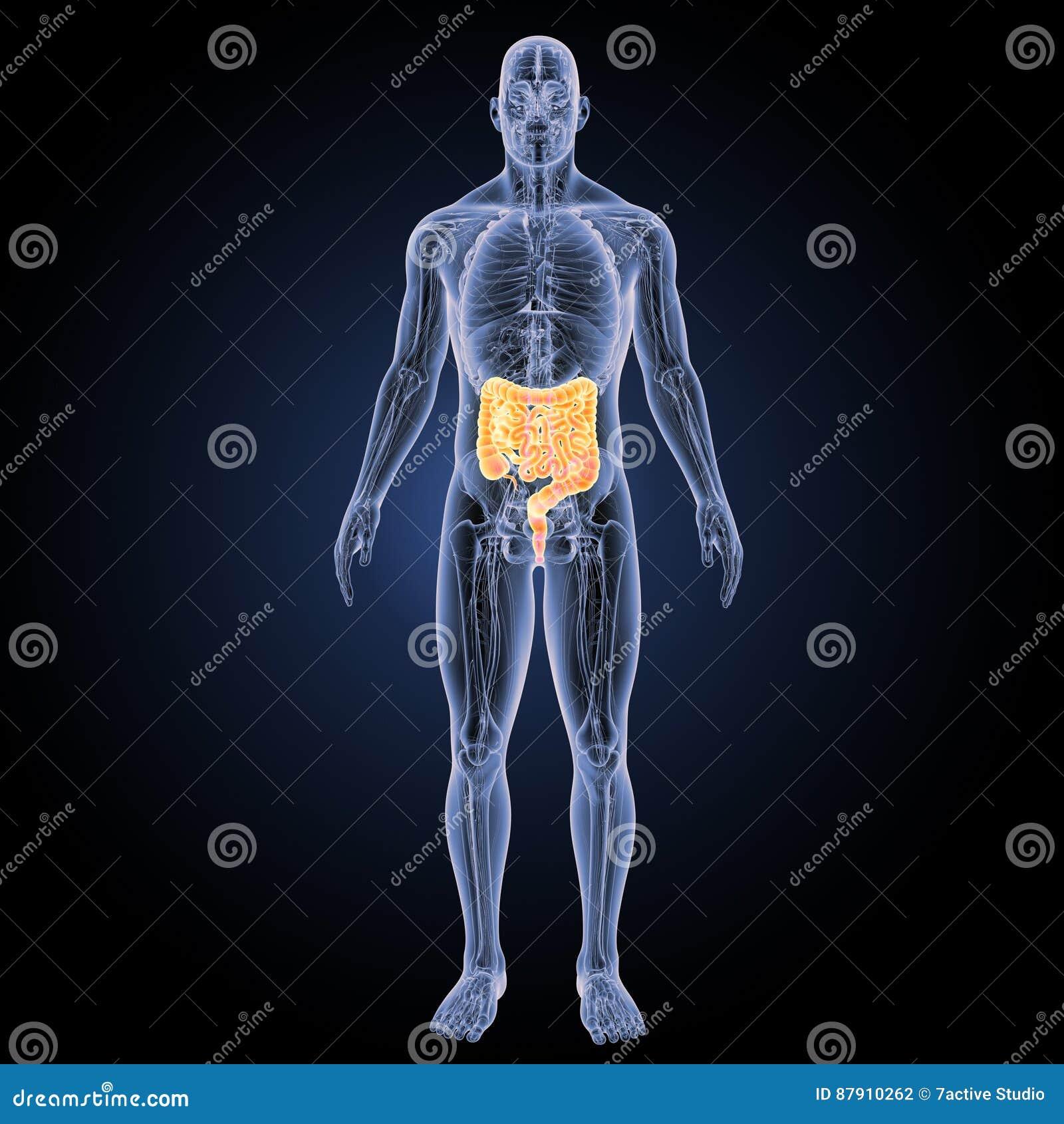 Intestine With Anatomy Anterior View Stock Illustration
