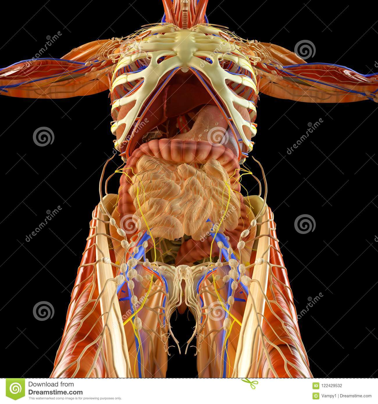 Intestine Digestive System Stomach Esophagus Duodenum Colon Elongated Shade Human Anatomy Human Body X Ray D Rendering