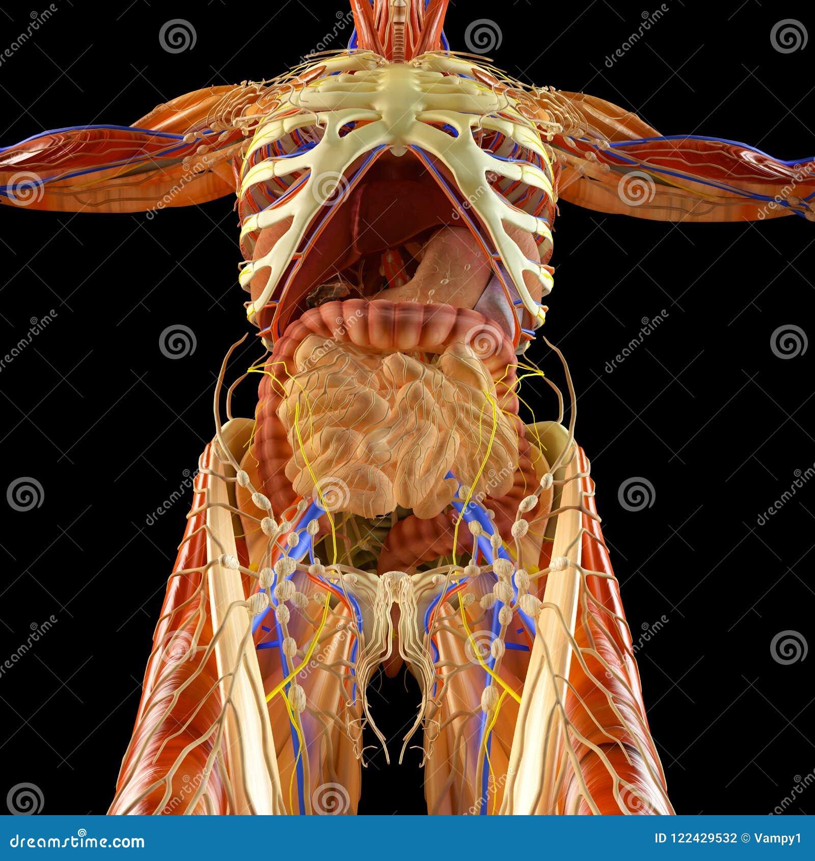Intestino, Sistema Digestivo, Estómago, Esófago, Duodeno, Dos Puntos ...