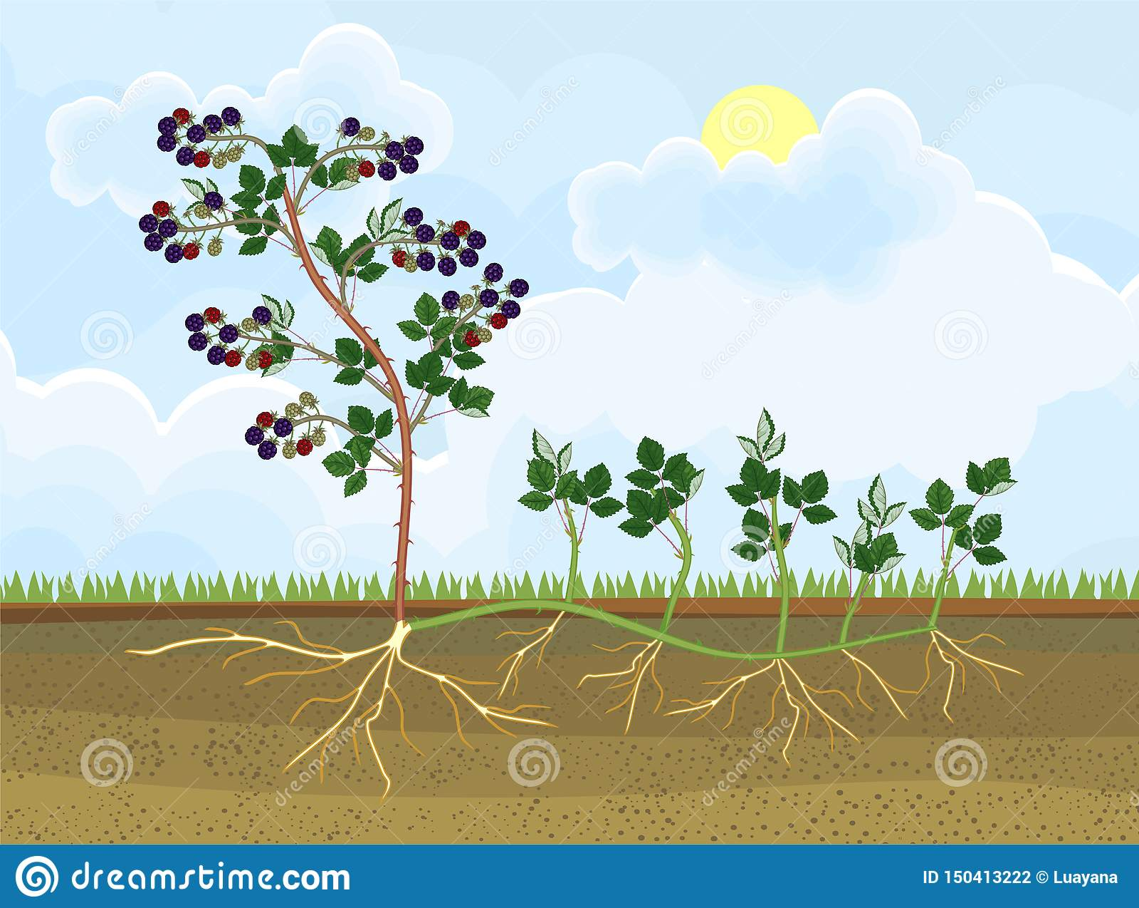 Intrig för reproduktion för Blackberry växt vegetativ