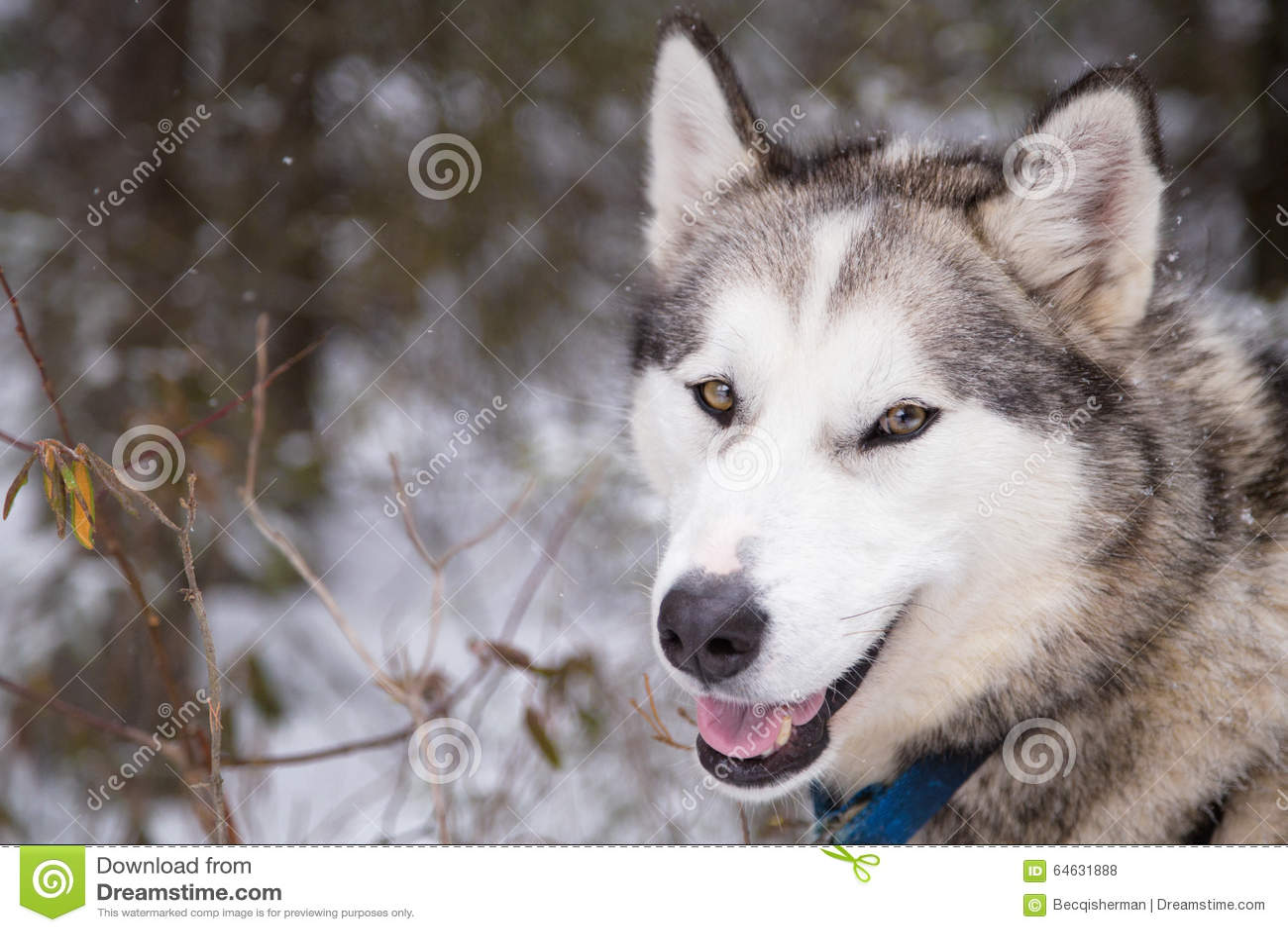 Inuit Sled Dog Close Up Face Ready to go Dogsledding in Minnesota