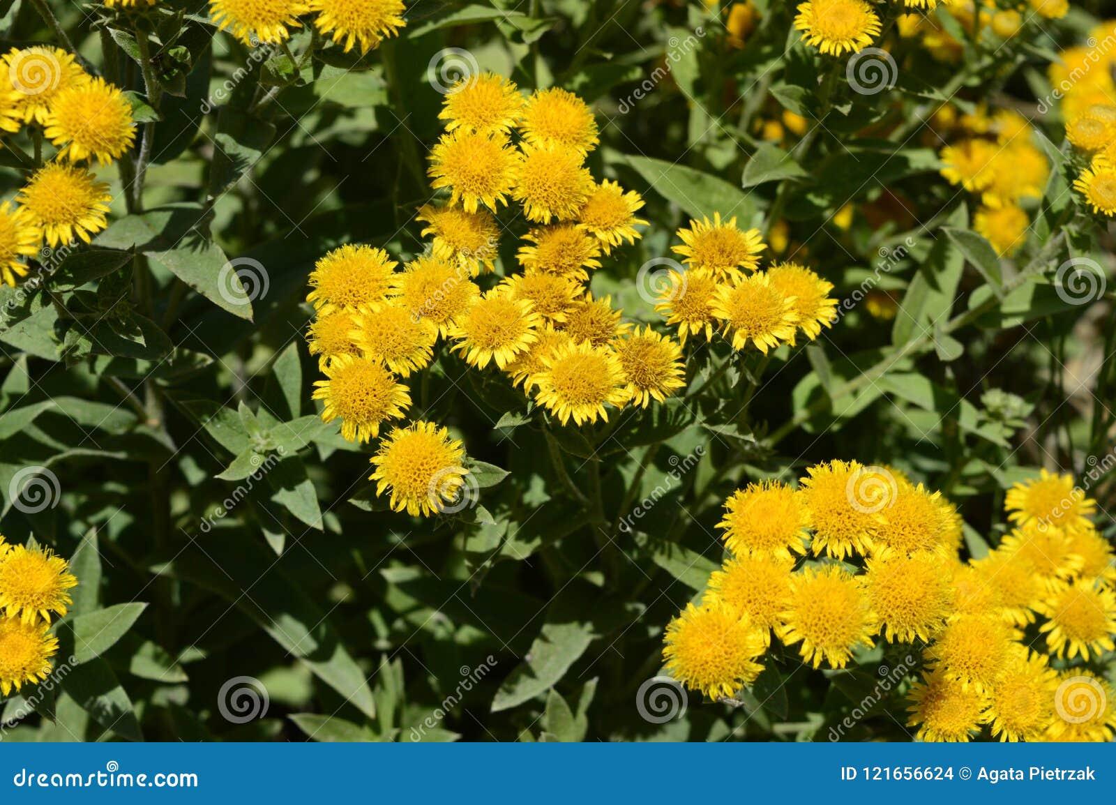 Inula Germanica Yellow Daisy Like Flowers Stock Photo Image Of