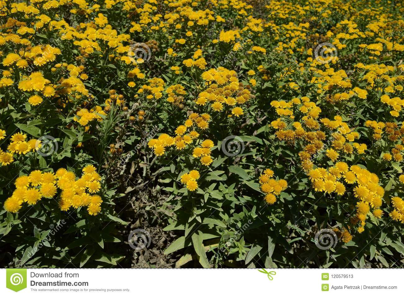 Inula Germanica Yellow Daisy Like Flowers Stock Image Image Of