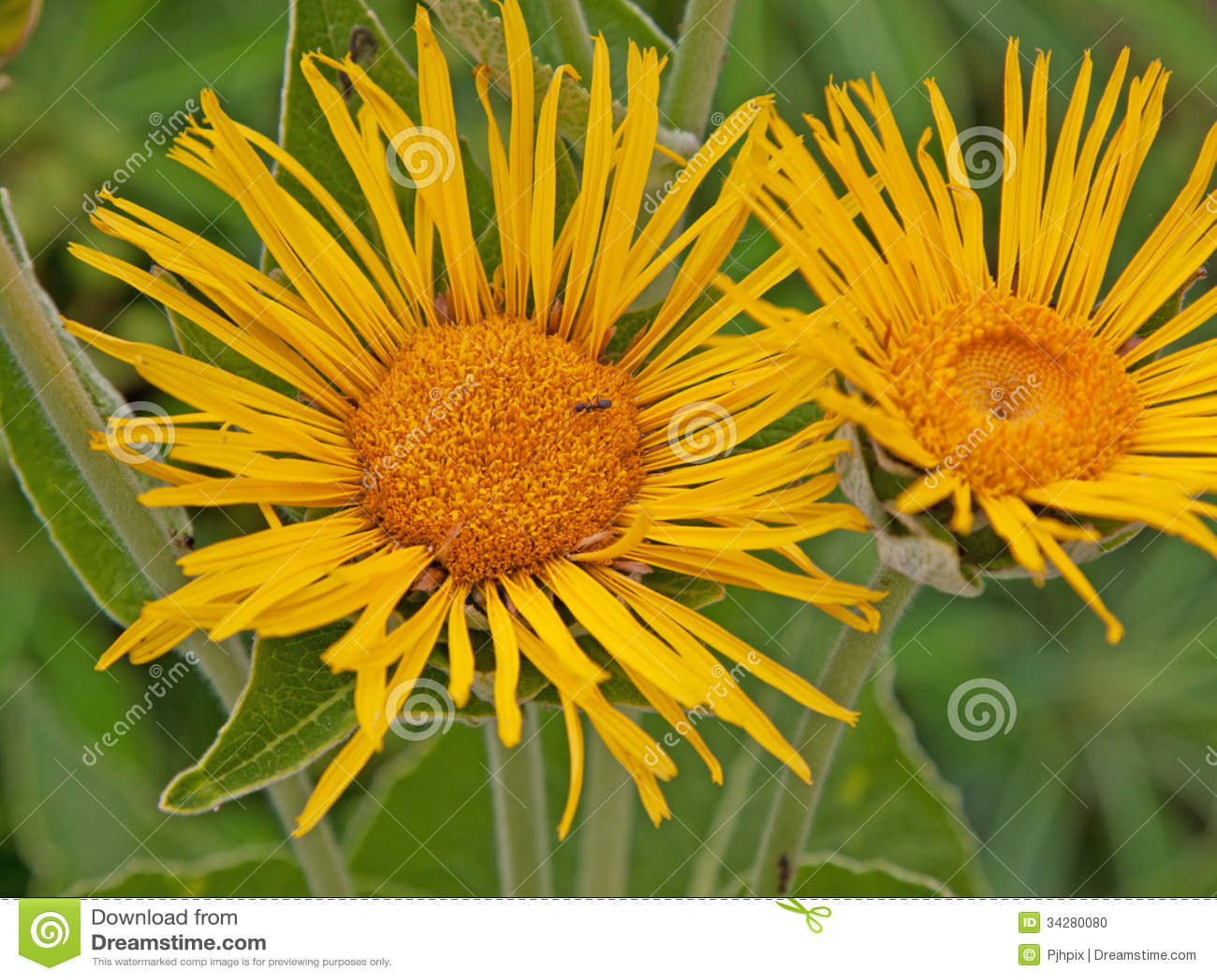 Inula Magnifica花