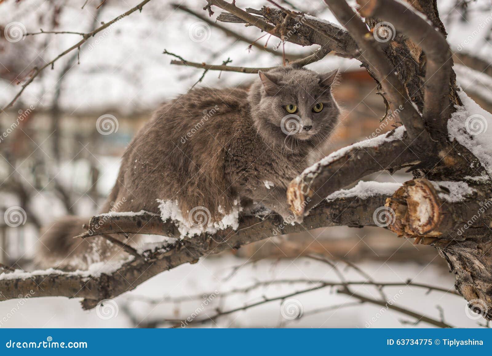 Inverno che cerca gatto siberiano fotografia stock for Il gatto inverno