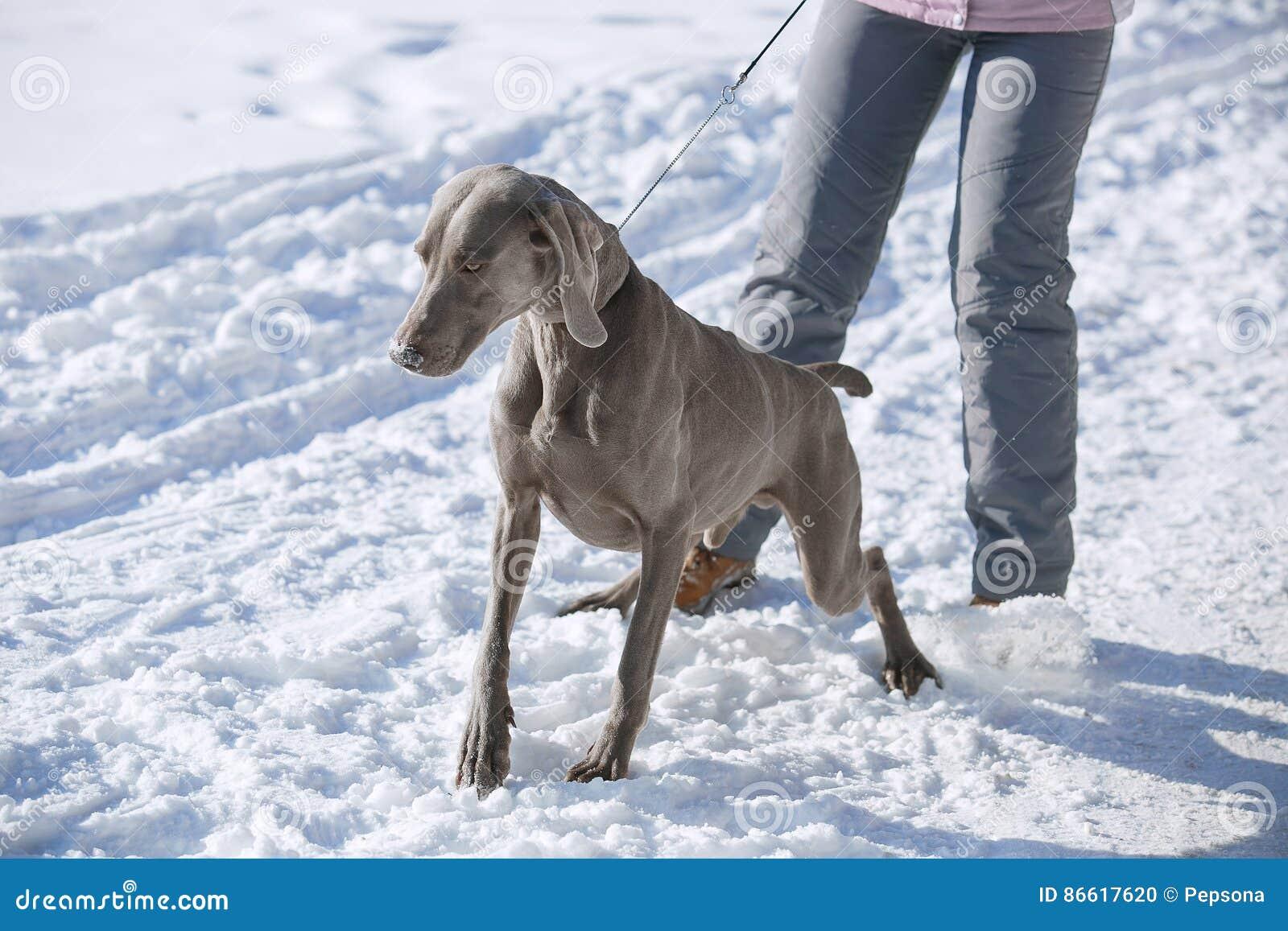 Inverno del weimaraner del puntatore di caccia nella neve