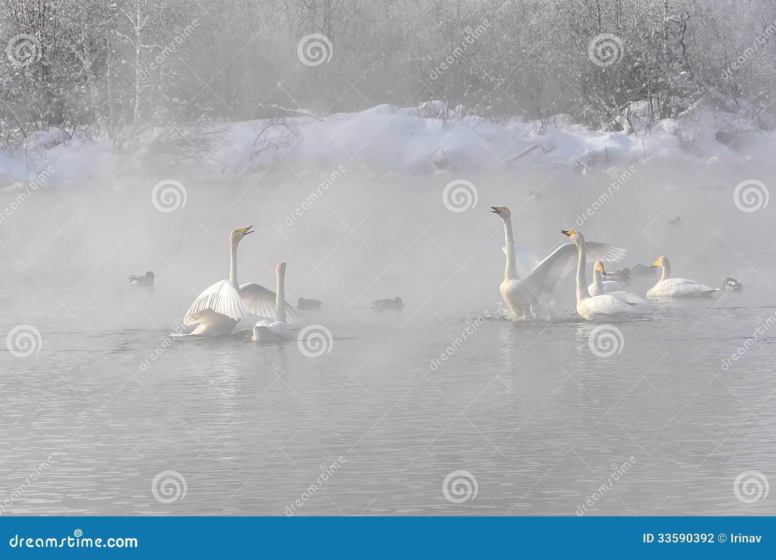 Invierno brumoso del lago de la pelea de los cisnes (Cygnus del Cygnus)