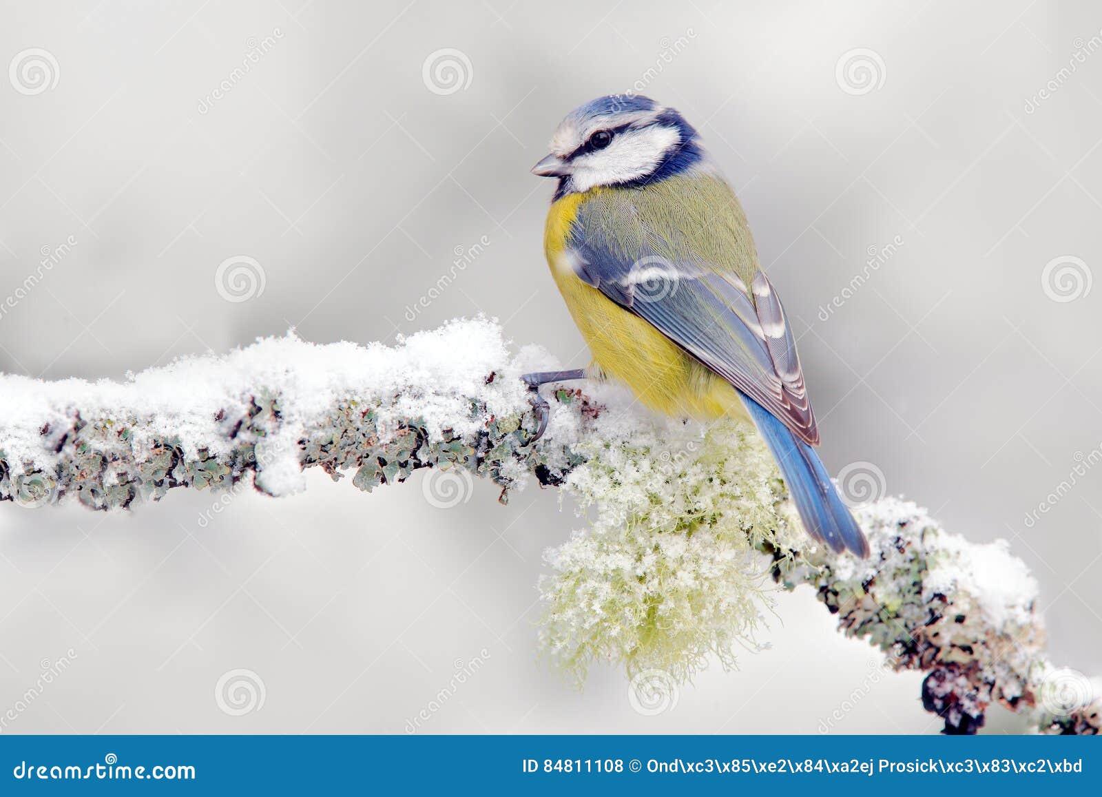 Invierno de la nieve con el pájaro cantante lindo El Tit azul del pájaro en bosque, el copo de nieve y el liquen agradable ramifi