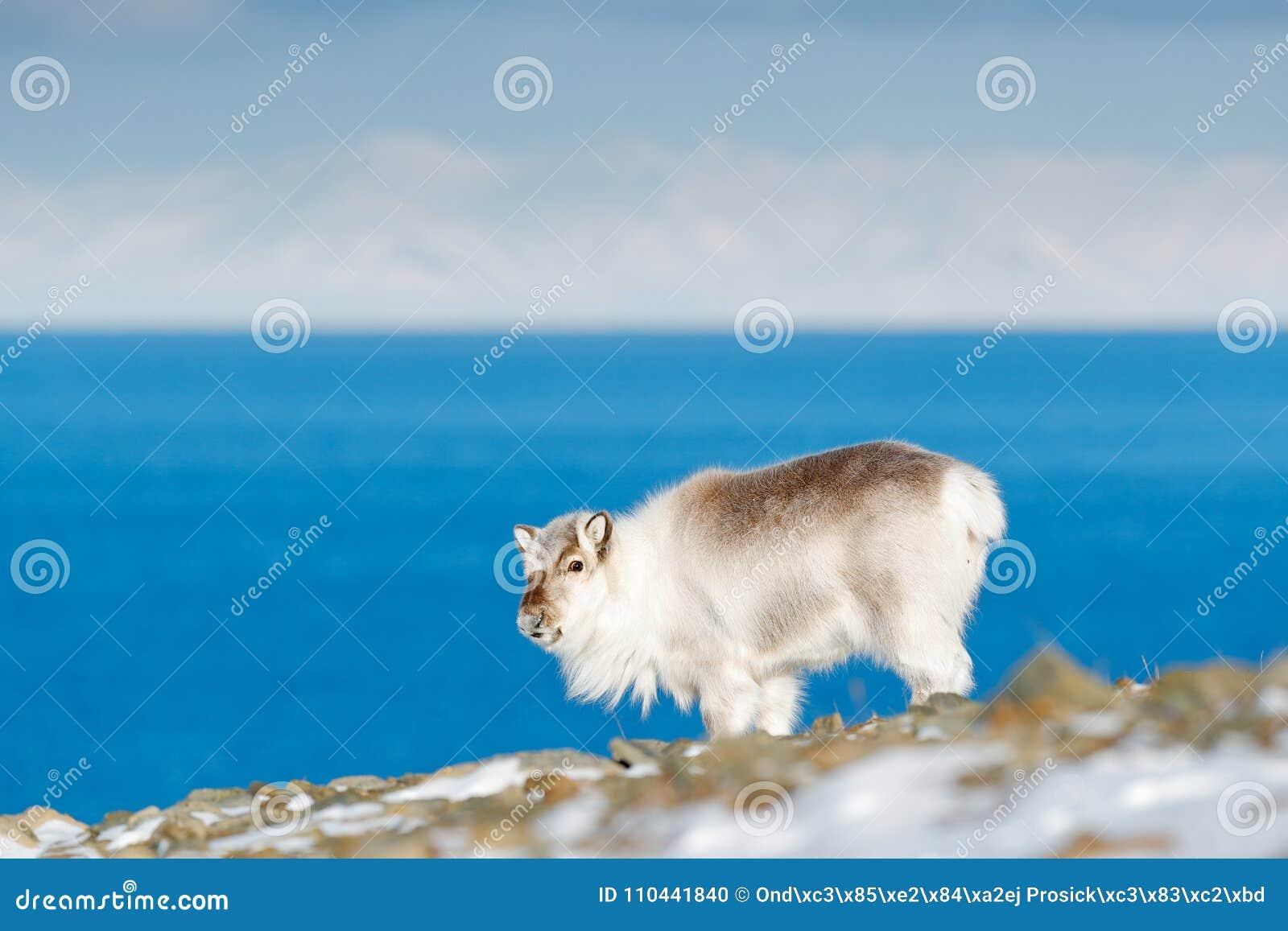 Invierno Svalbard Reno salvaje, tarandus del Rangifer, con las astas masivas en nieve, Svalbard, Noruega Ciervos de Svalbard en l