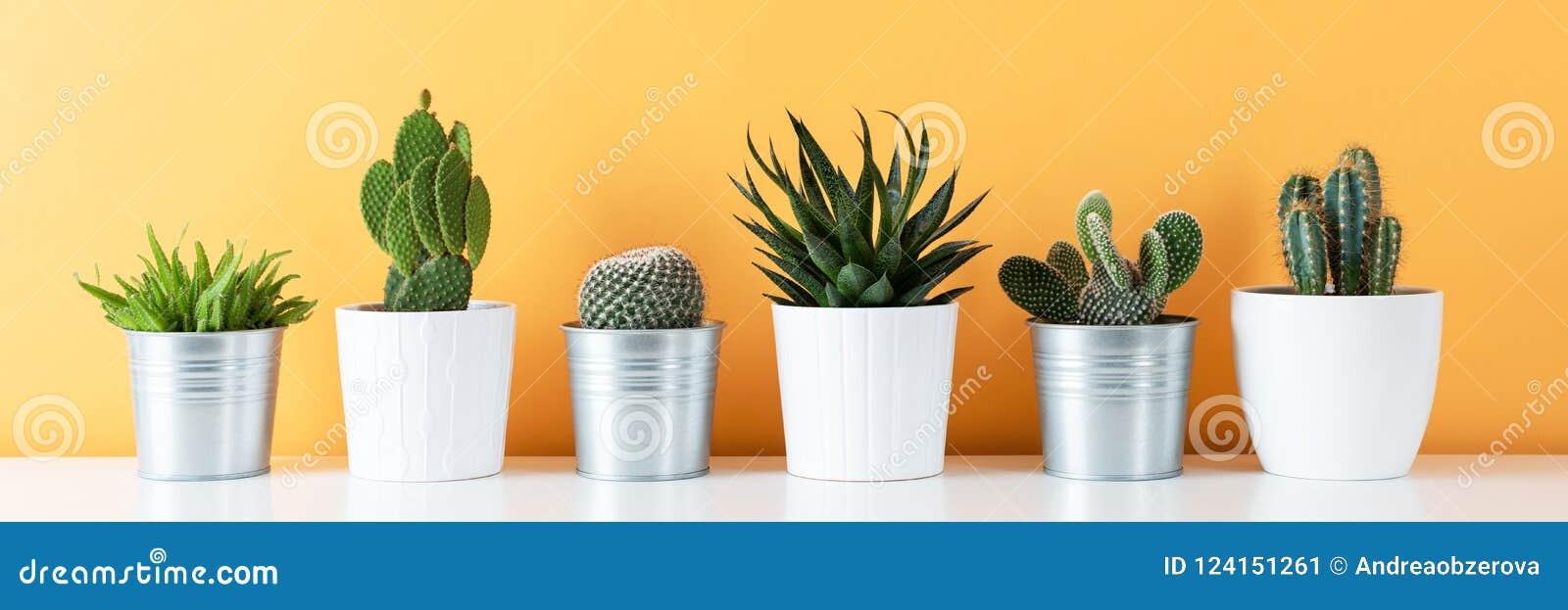 Inzameling van diverse ingemaakte cactus en succulente installaties op witte plank tegen warme gele gekleurde muur De banner van
