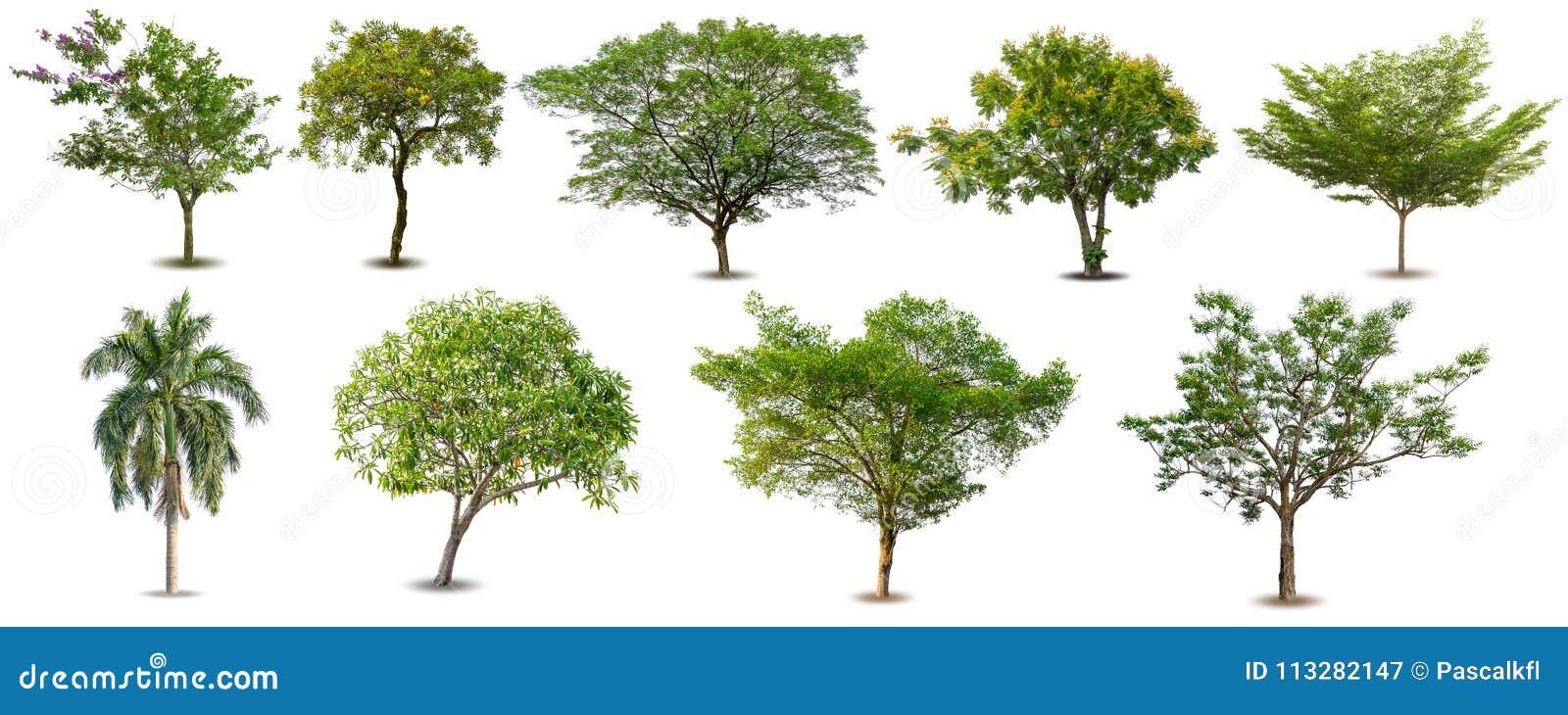 Inzameling van Geïsoleerde Bomen op witte achtergrond, Reeks groene die bomen op witte achtergrond wordt geïsoleerd