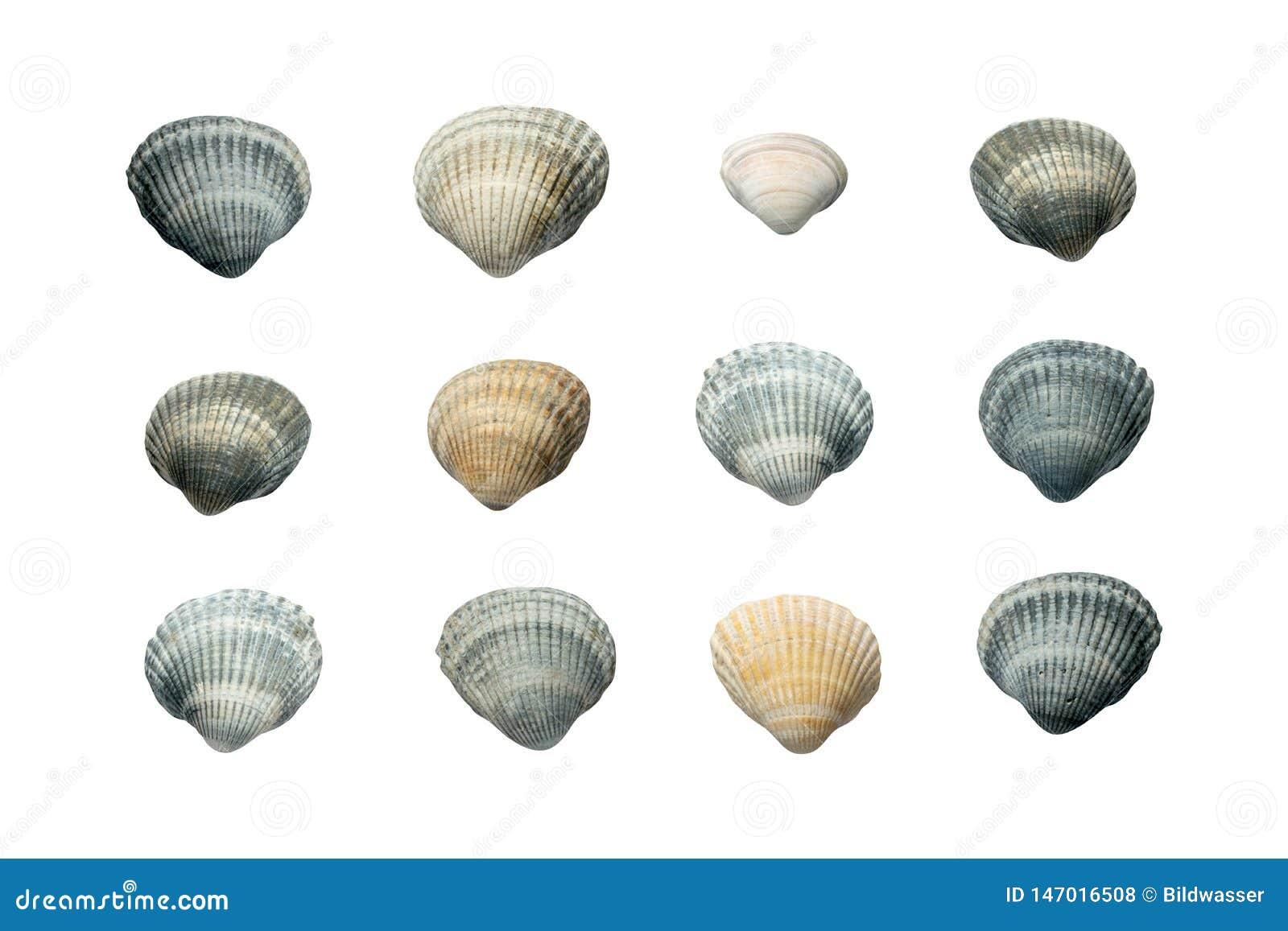 Inzameling van zeeschelpen op witte achtergrond wordt ge?soleerd die