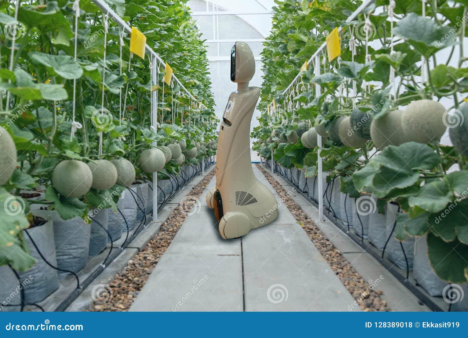 Iot de slimme landbouw, landbouw in de industrie 4 het 0 technologieconcept, tendensrobot die in landbouwbedrijf gebruiken om lan