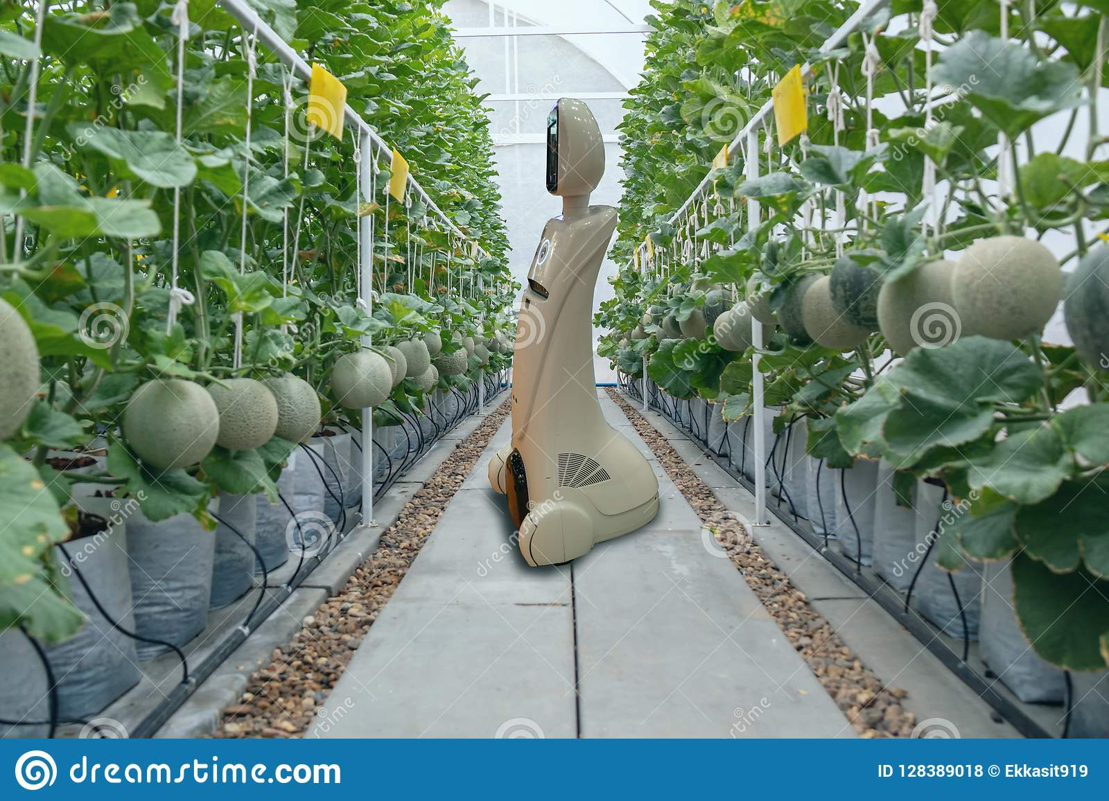 Iot smart farming, agriculture in industry 4.0 technology concept, trend robot using in farm to help farmer collect data ,keep , t