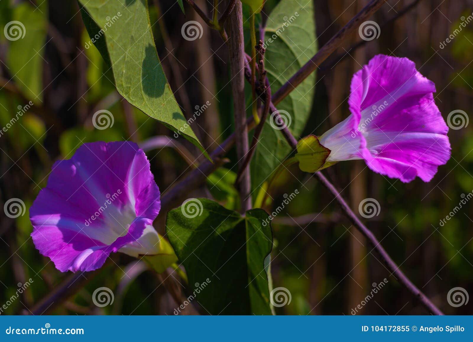 Ipomea che fiorisce nel legno