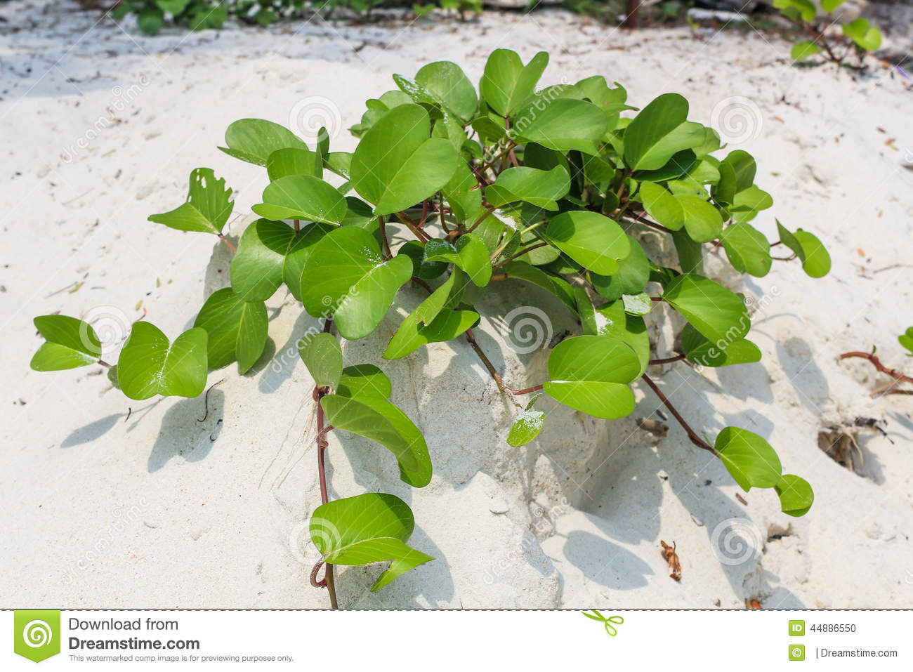 Ipomoea on the beach
