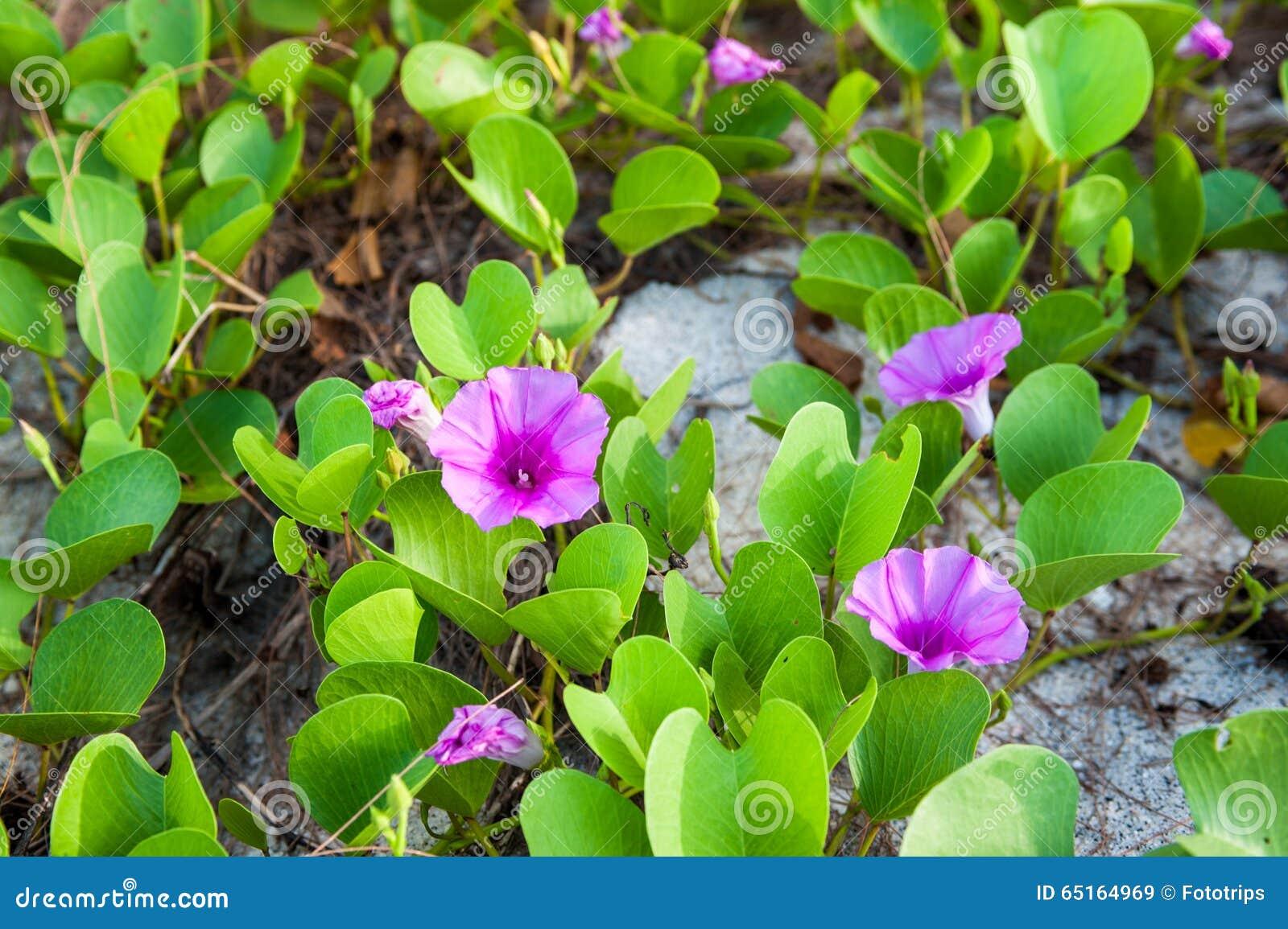 Ipomoea pes-caprae flower ,Adang-Rawee Island ,Thailand