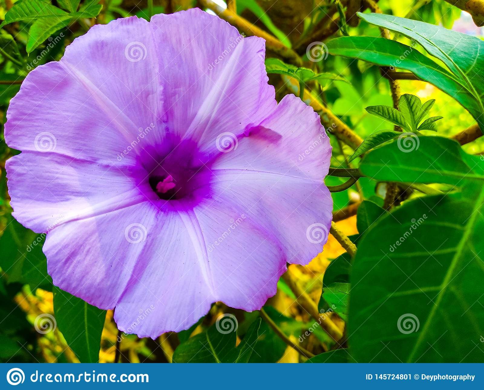 Ipomoea pes-caprae flower, also known as Bayhops. this is beach morning glory