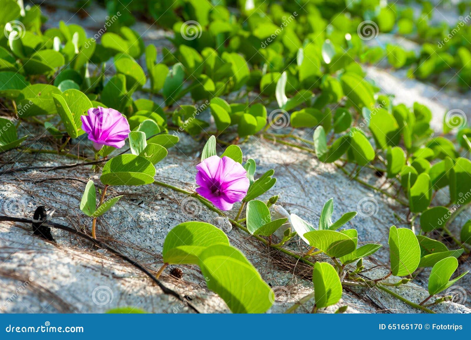 Ipomoea pes-caprae flower