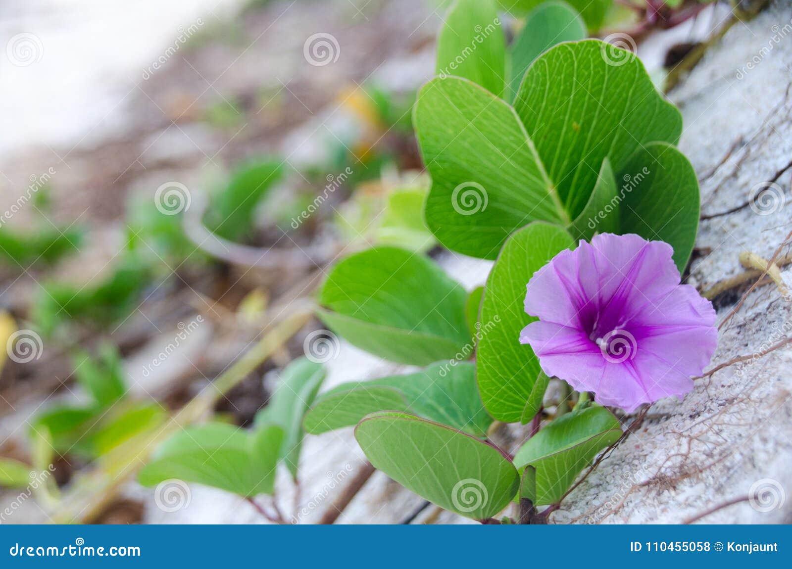 Ipomoeapes-caprae, grön ranka för fot för bladget` s på stranden