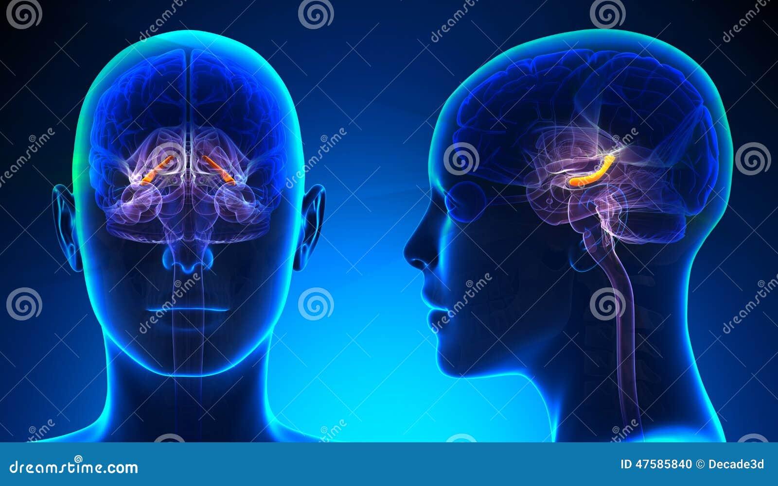 Ippocampo femminile Brain Anatomy - concetto blu