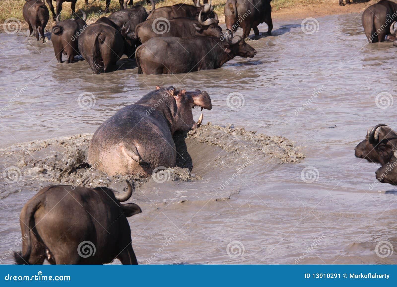 Ippopotamo aggressivo che insegue il bufalo di capo