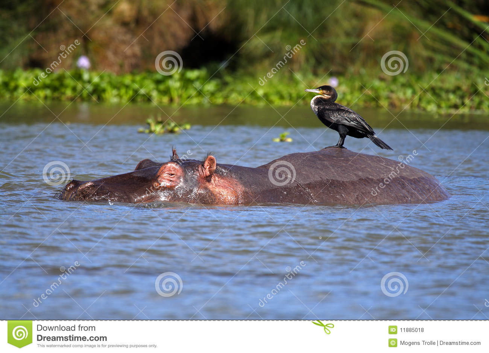 Ippopotamo con il cormorant sulla sua parte posteriore, lago Naivasha