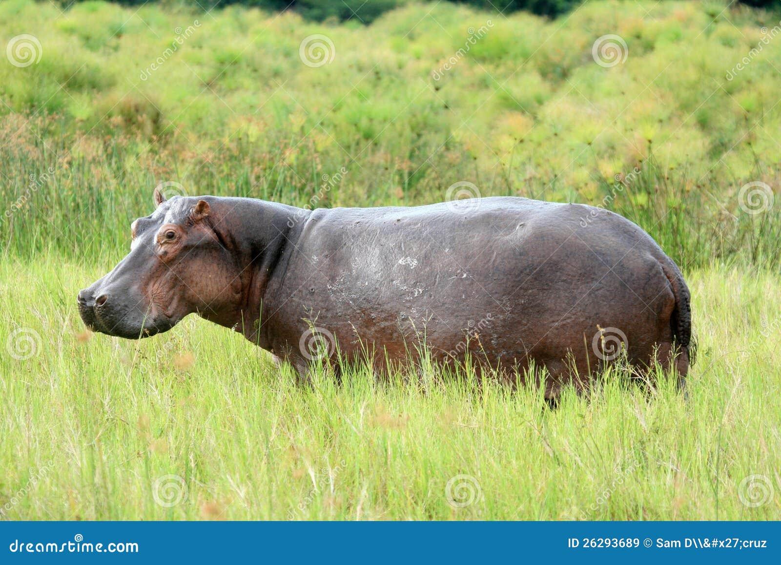 Ippopotamo - Murchison cade il NP, Uganda, Africa