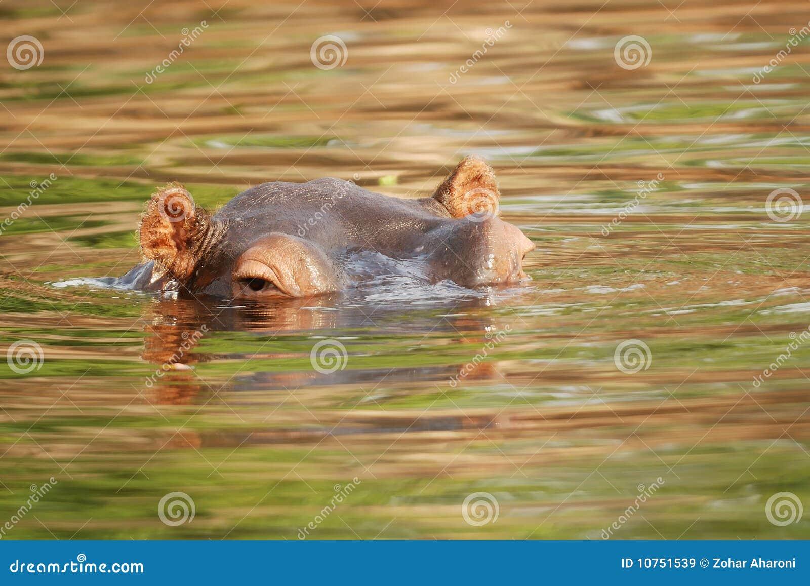 Ippopotamo nel fiume di Zambezi