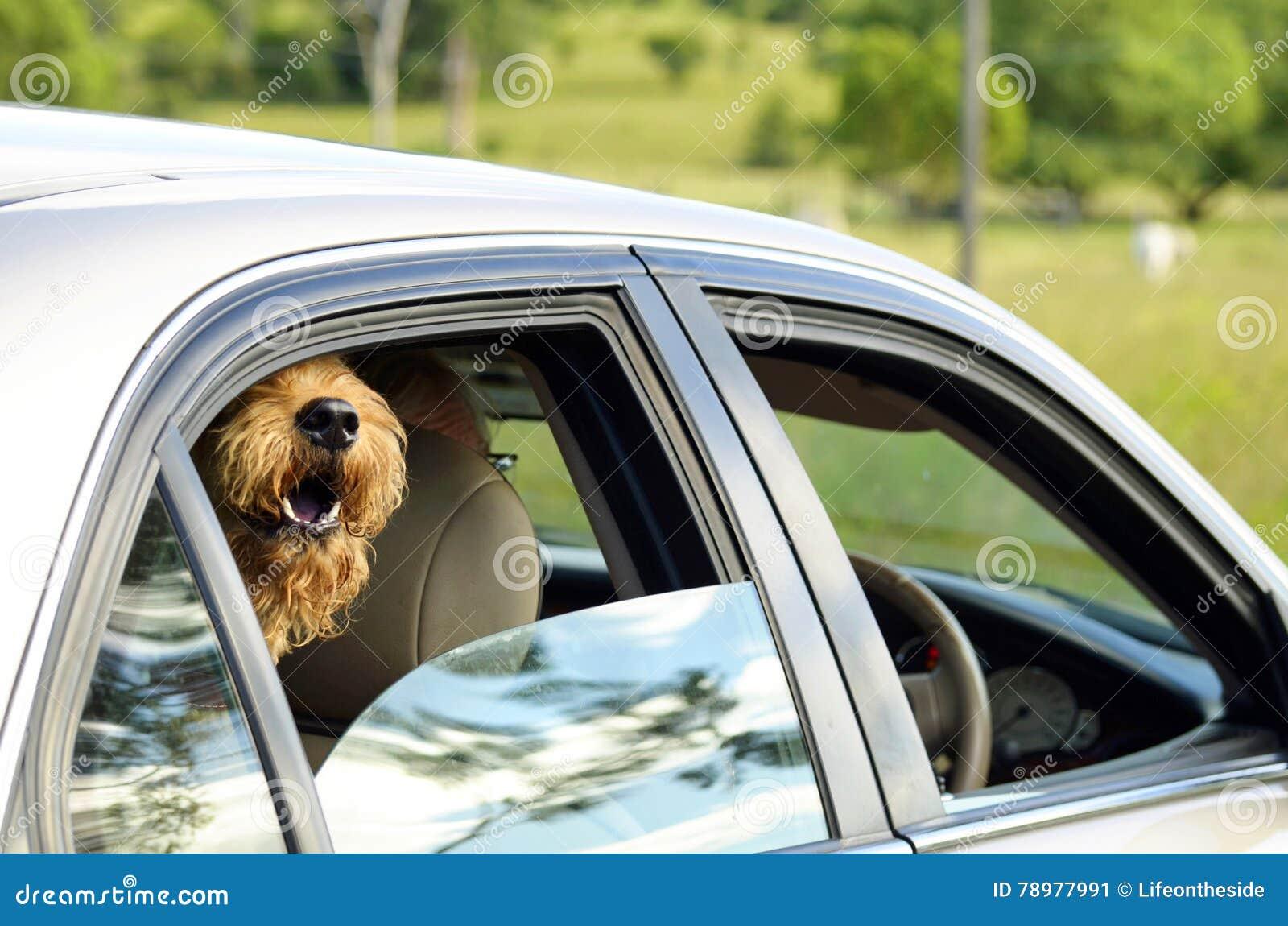 Ir feliz do urro muito entusiasmado peludo grande do cão para a movimentação do país