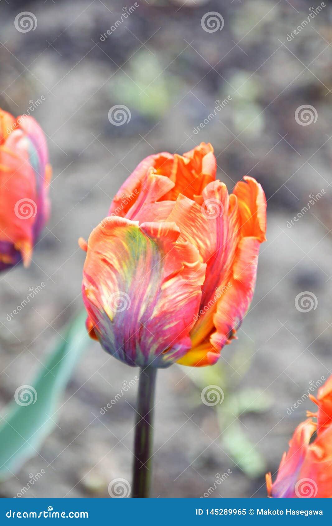 Irene Parrot Tulipa do papagaio Flor alaranjada com uma chama avermelhado-roxa com bordas enrugados