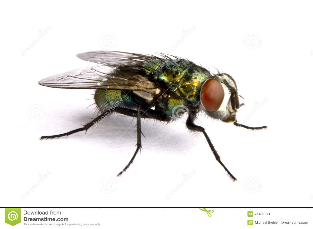 iridescent house fly in close up stock image image 21489571 cockroach clipart free cockroach clip art nymf