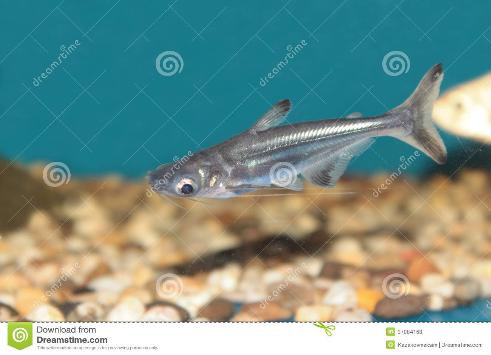 Iridescent shark aquarium fish royalty free stock photos for Shark fish for aquarium