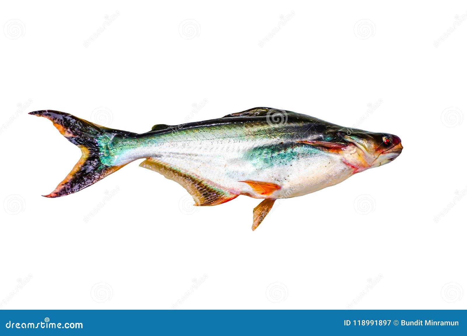 Iridescent shark fish isolated on white background.