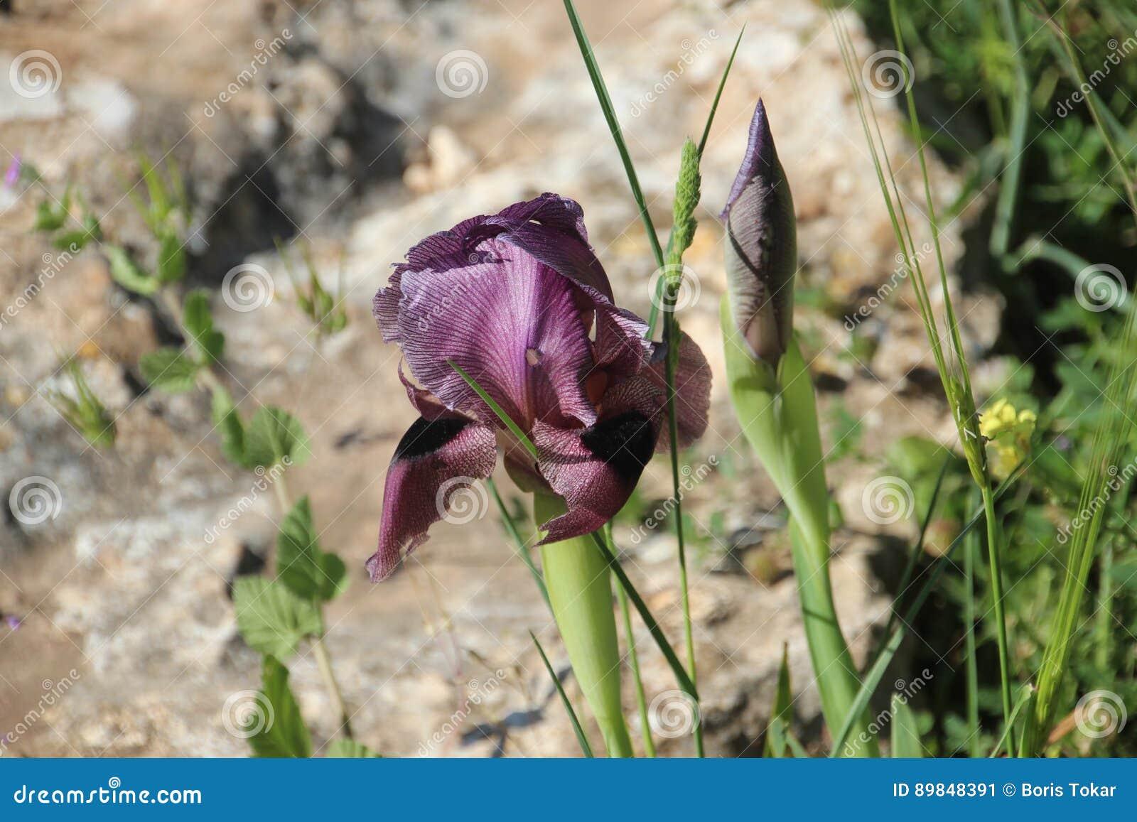 Iries svarta härliga blommor i Israel Mount Gilboa Carmel