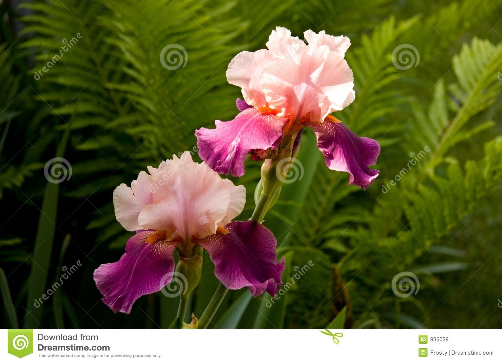 Iris images libres de droits image 836039 - Langage des fleurs iris ...